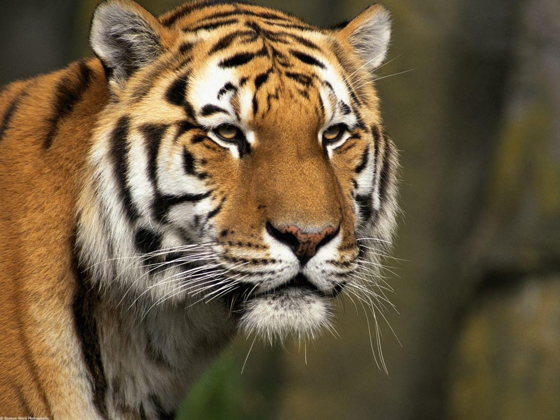 tiger wallpapers, photos and desktop backgrounds up to 8K ...