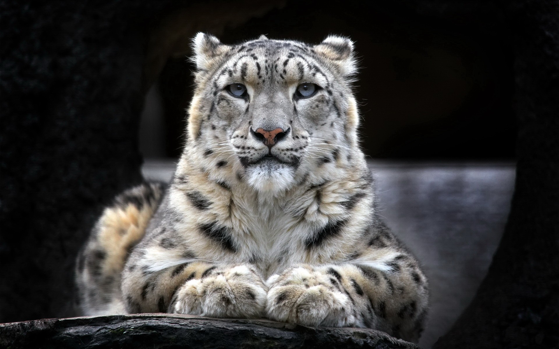 Snow leopard 691.84 Kb