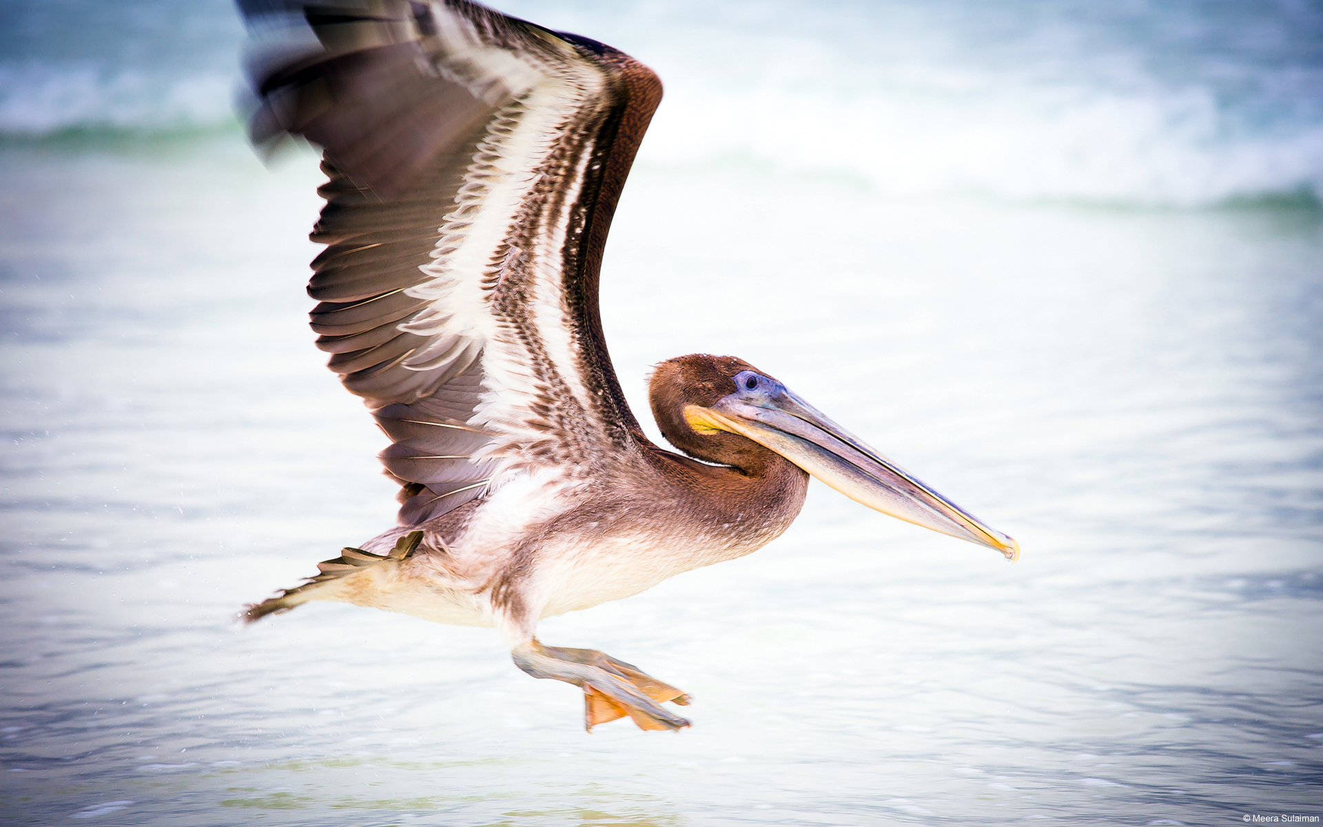 Pelican Water Bird