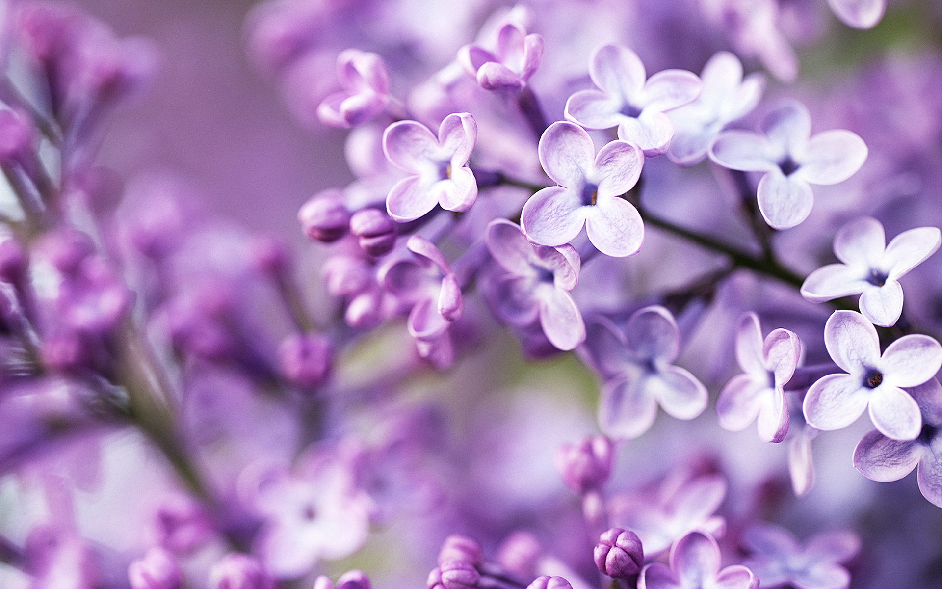 Spring Purple Flowers 342.86 Kb
