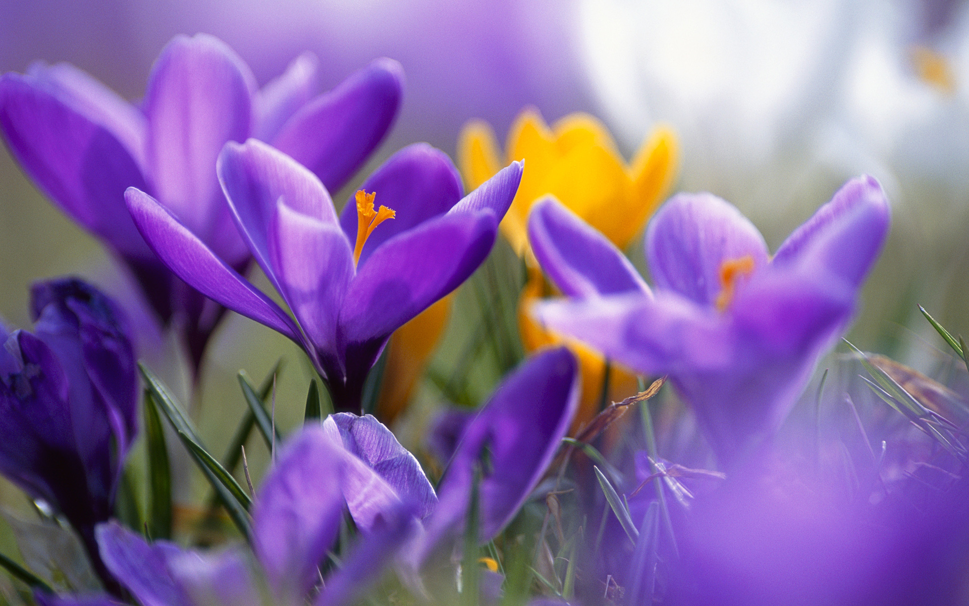 Purple Crocuses 557.26 Kb