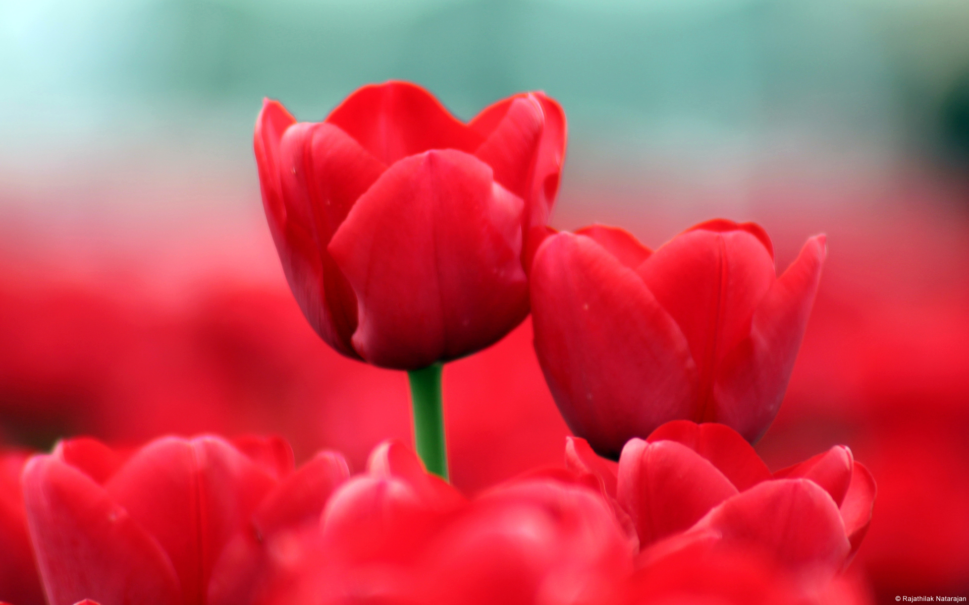Red Tulips 231.78 Kb