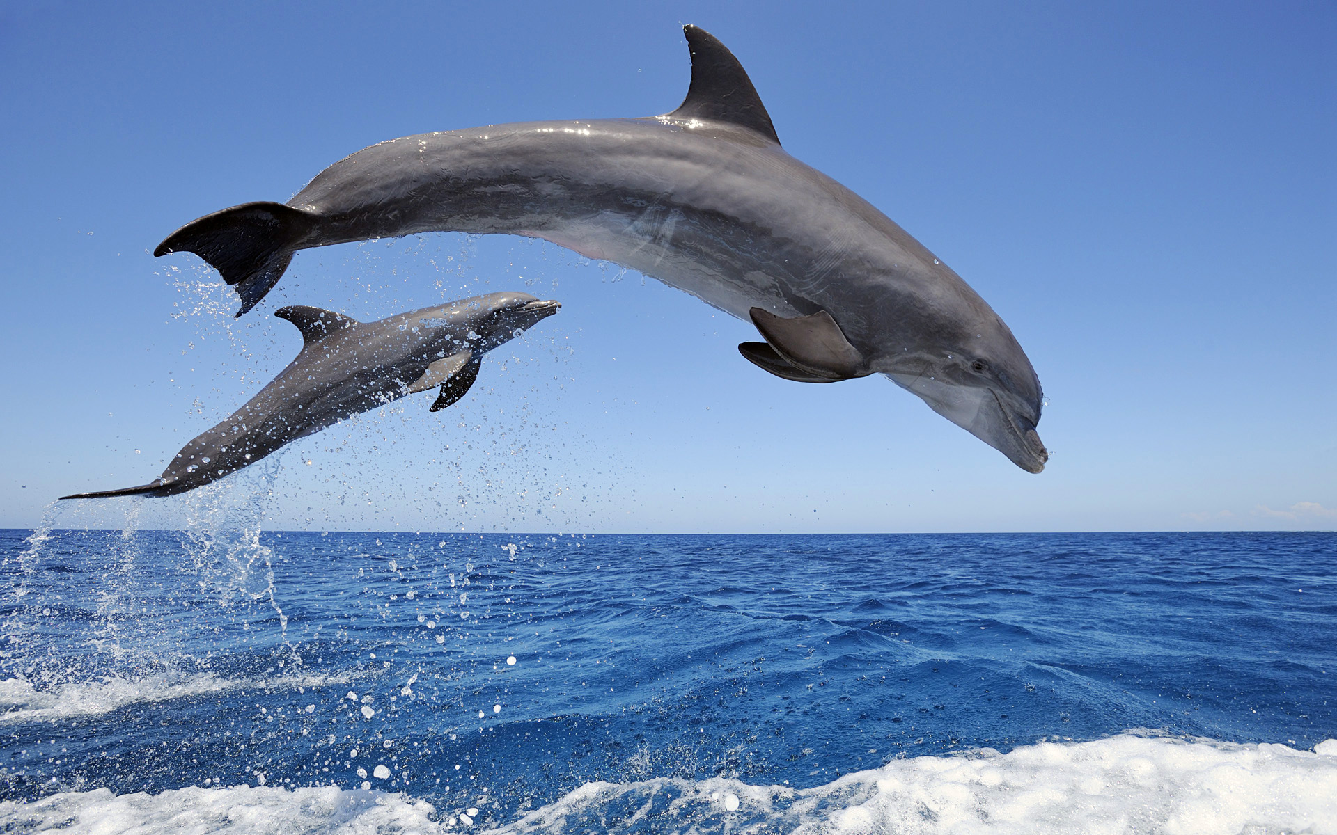 Common Bottlenose Dolphins 376.88 Kb