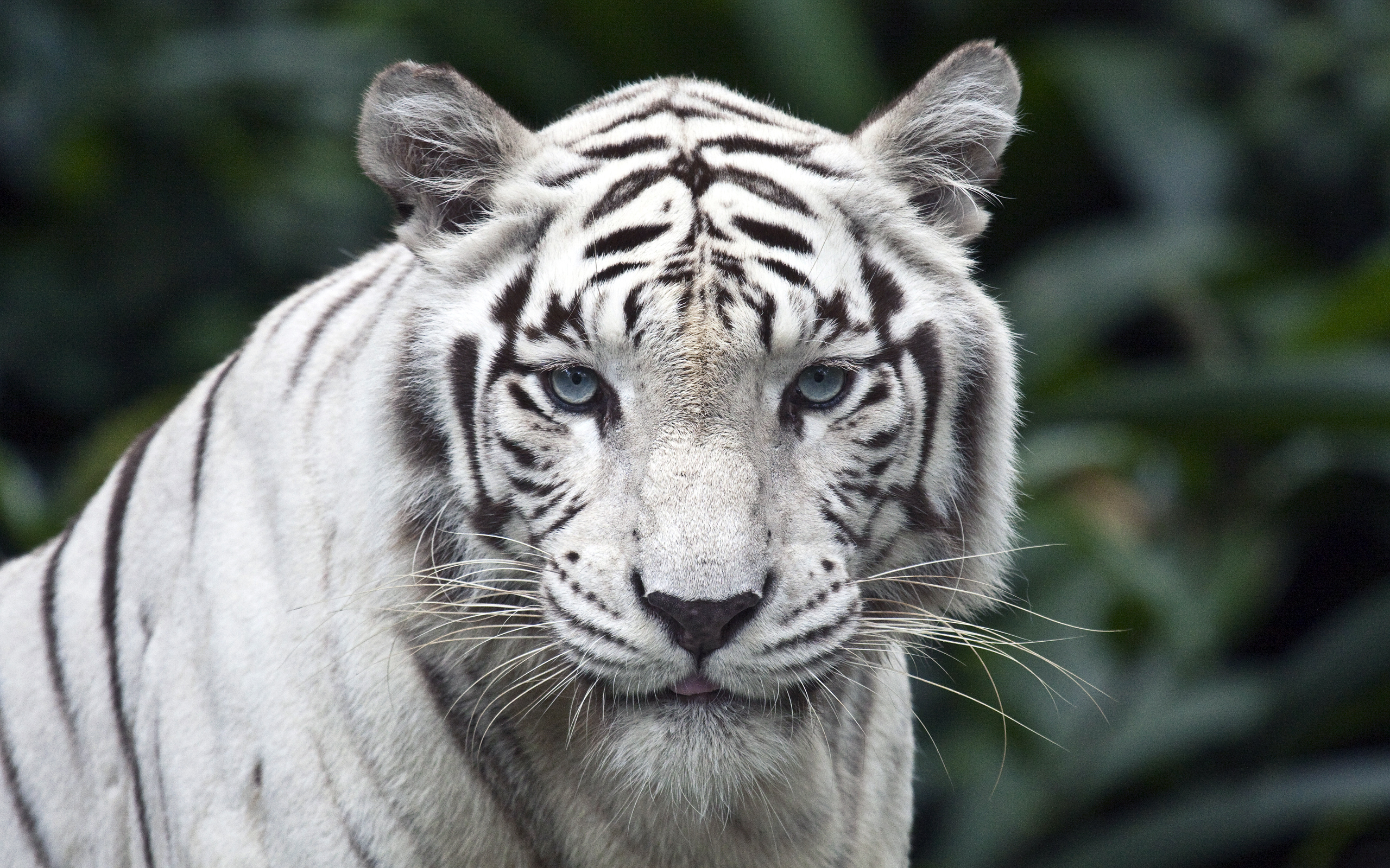 Female While Tiger