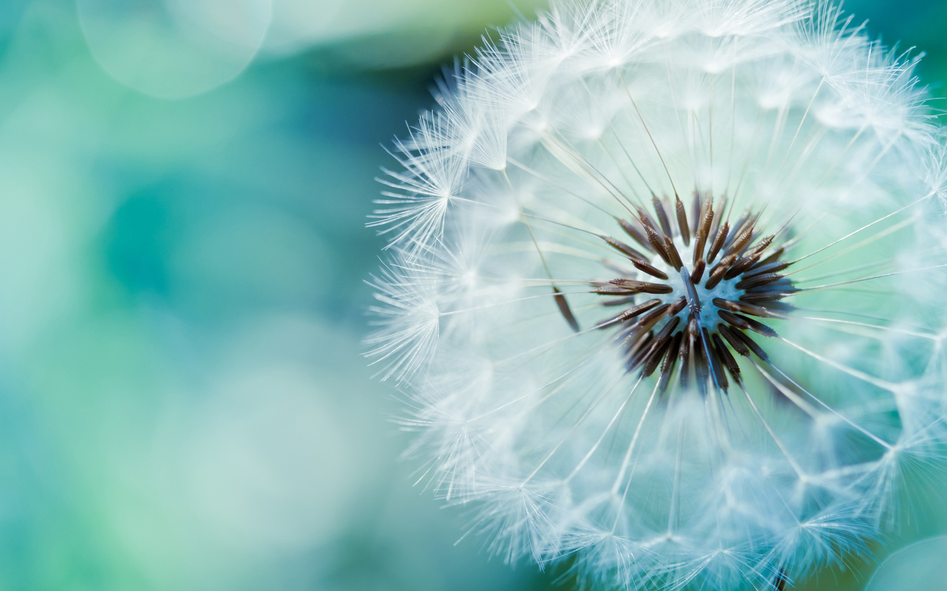 Dandelion Flower 2372.53 Kb