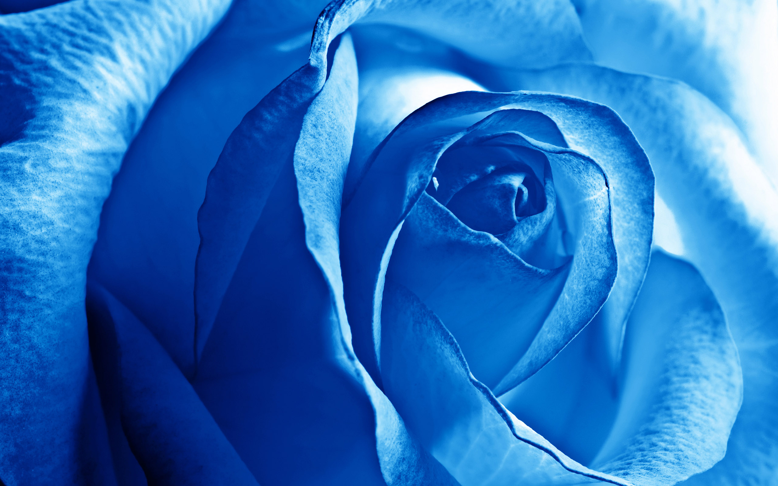 Blue Rose 757.64 Kb