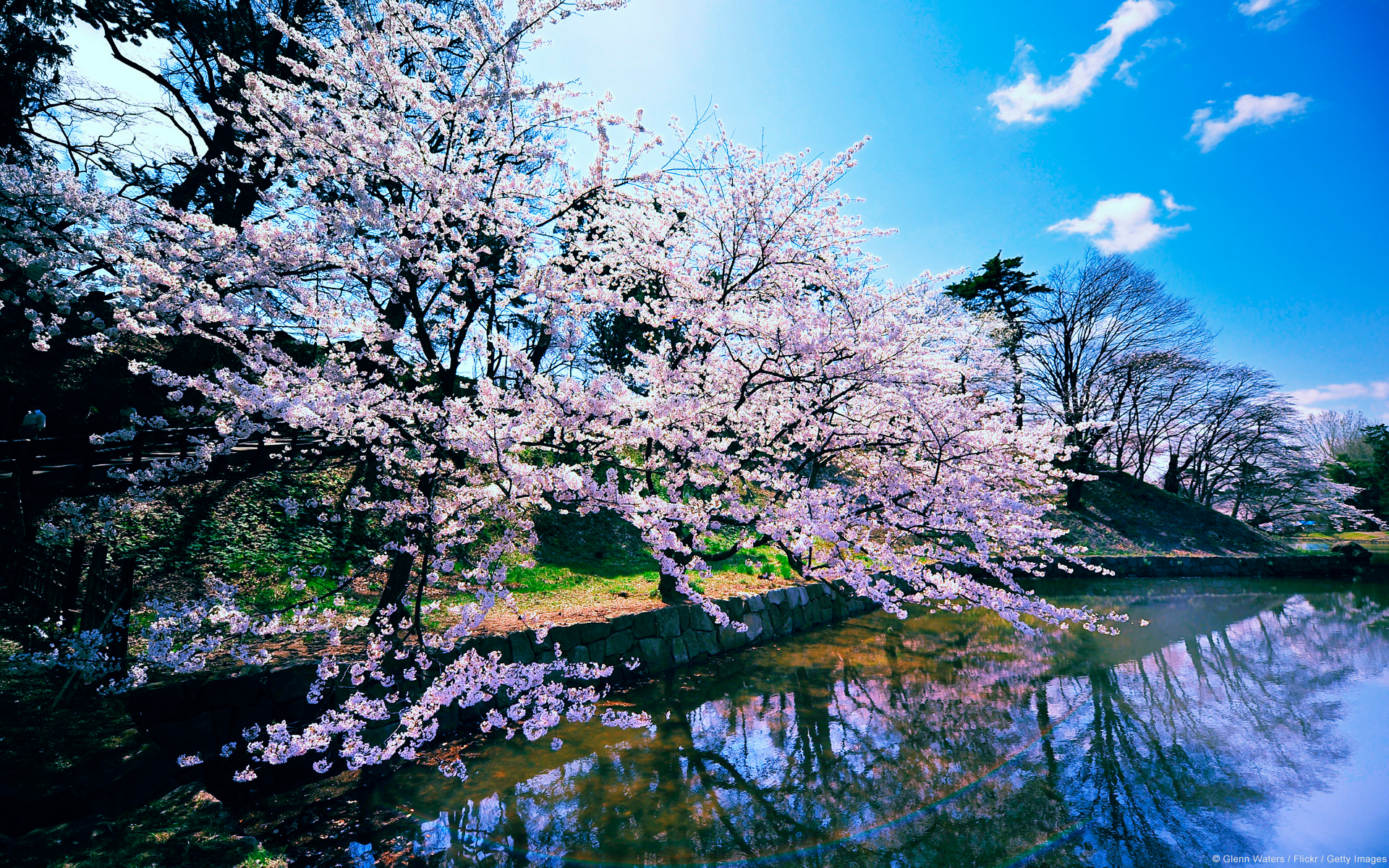 Cherry Blossom Trees 1109.22 Kb