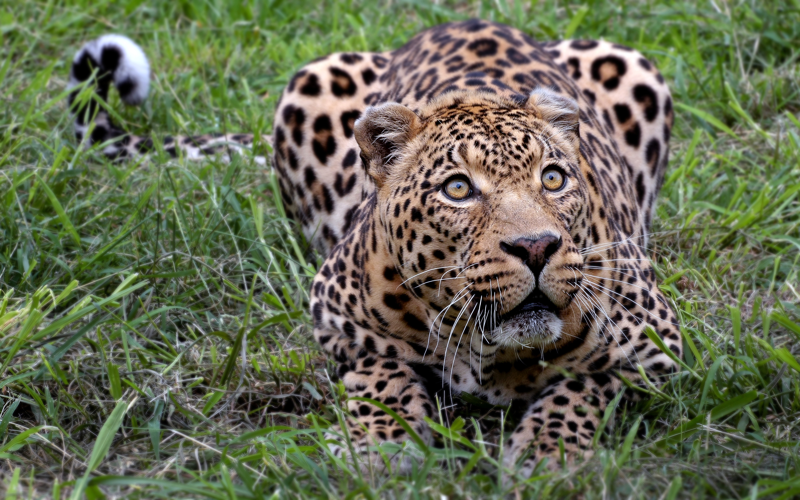 African Leopard 1427.92 Kb