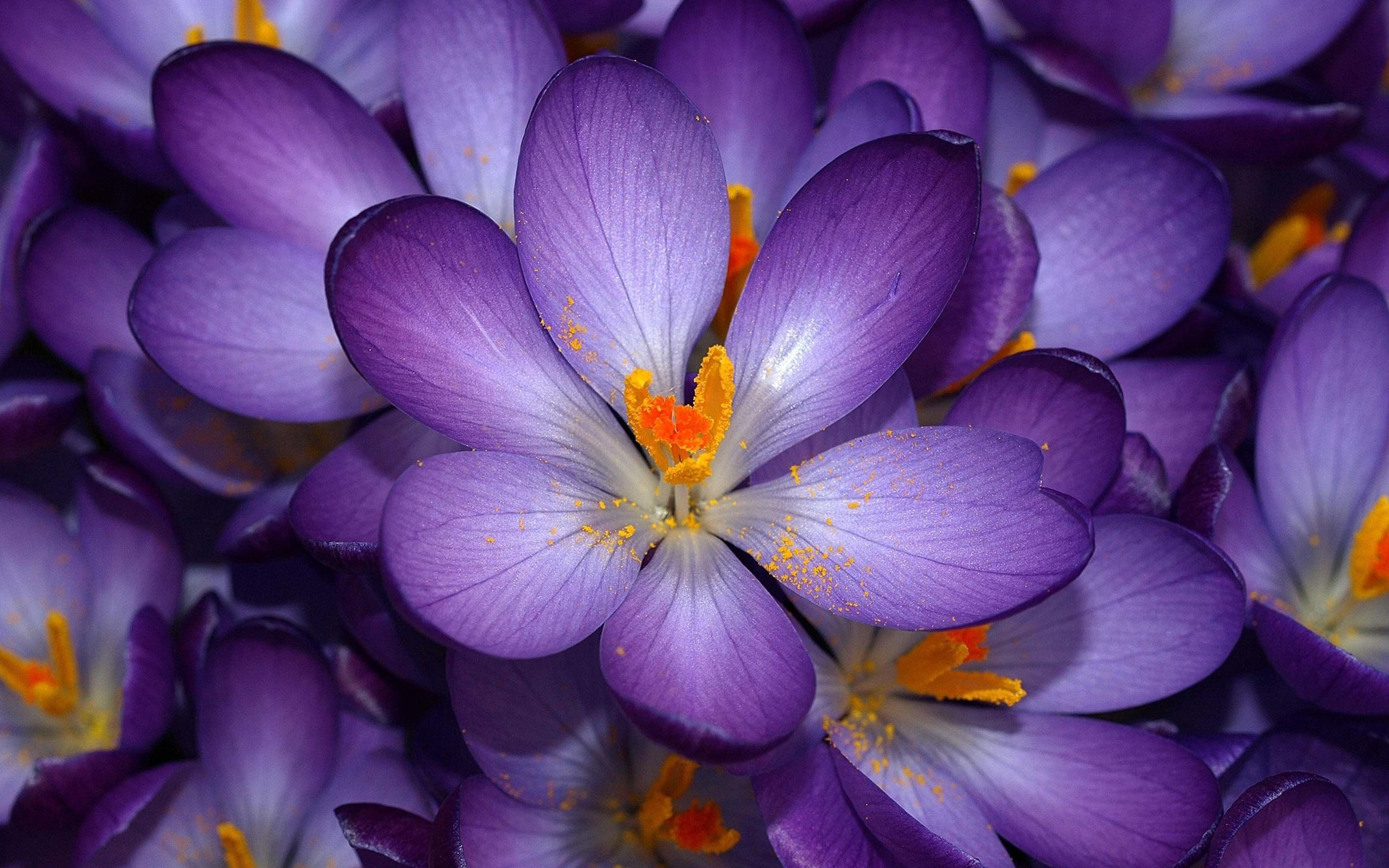 Autumn Purple Crocus
