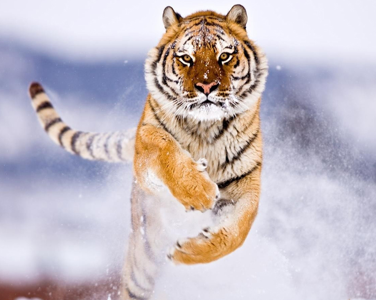 Amur Tiger in Snow 275.36 Kb