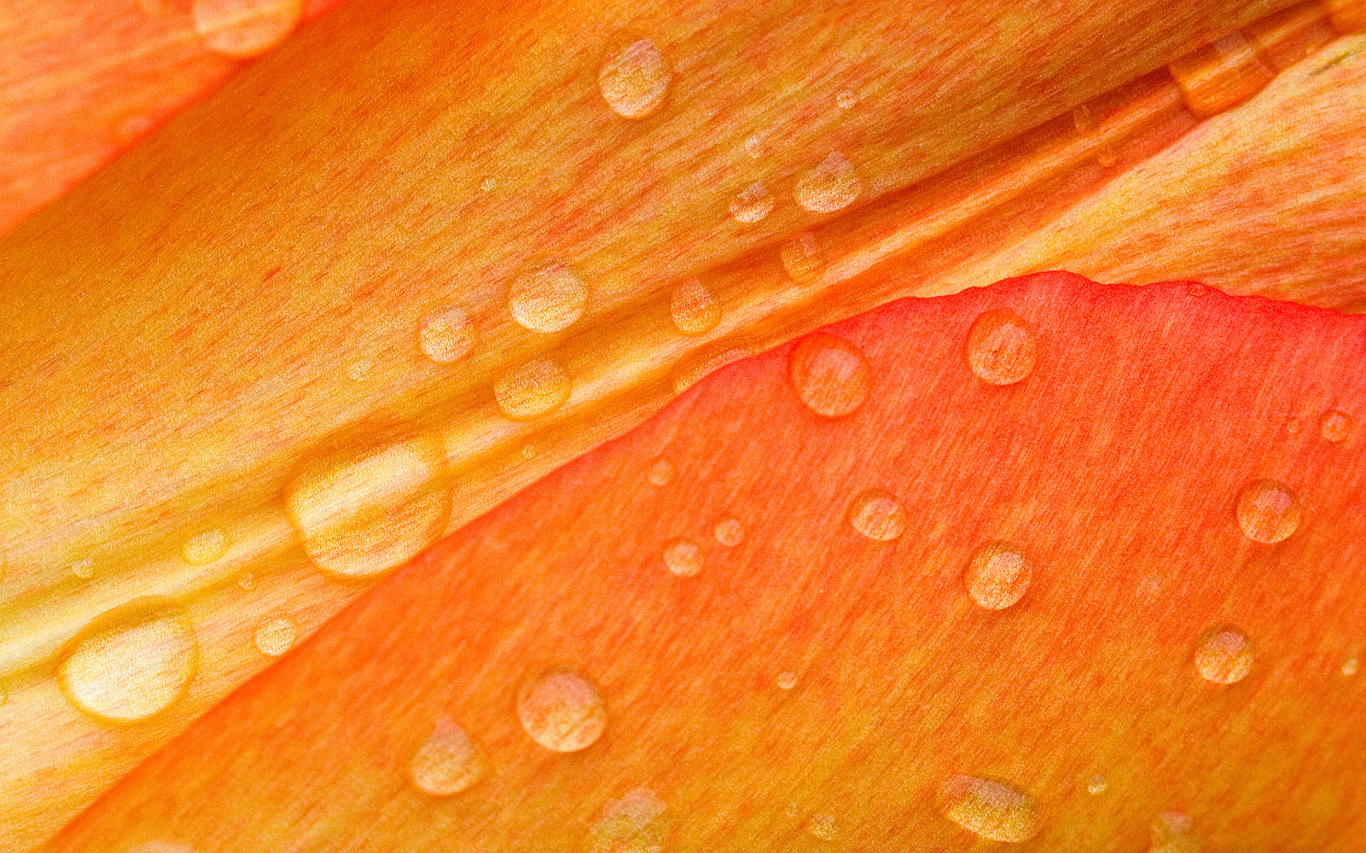 Drops on Flower Petals