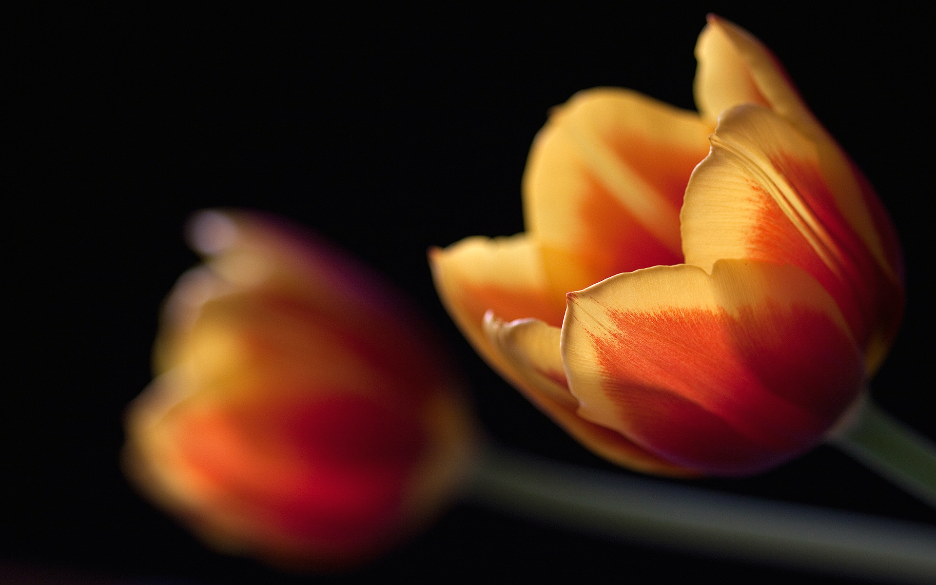 Tulips Couple 294.65 Kb