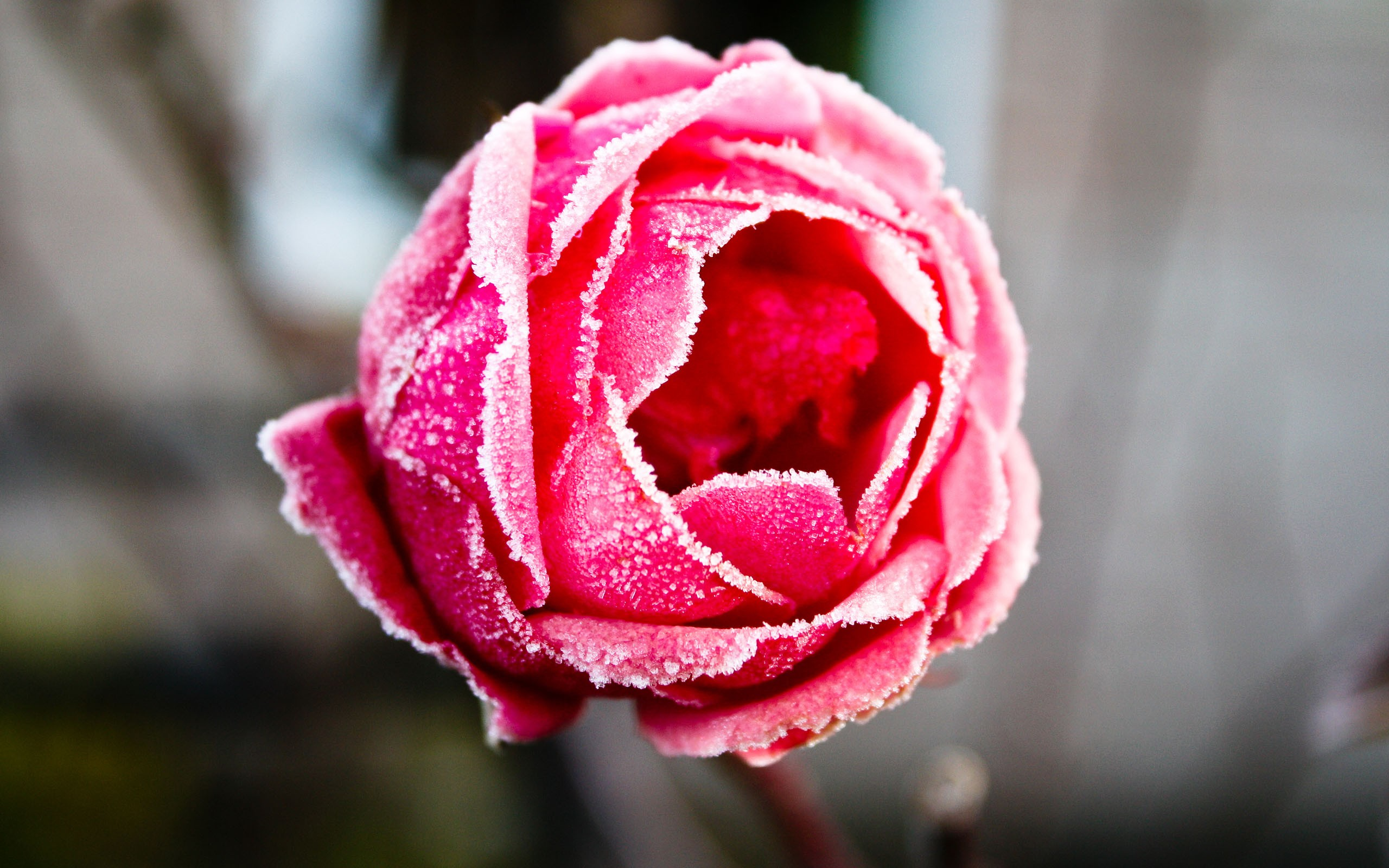 Frozen Rose 628.74 Kb