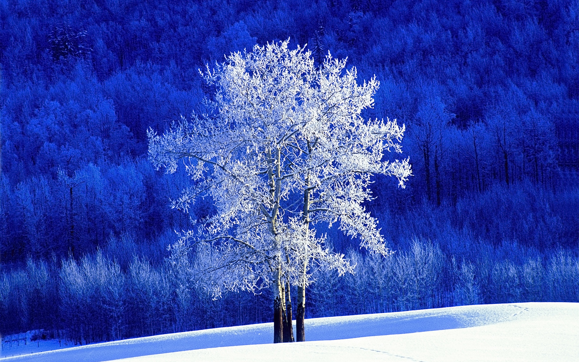 Frosted Aspen Tree 3563.76 Kb