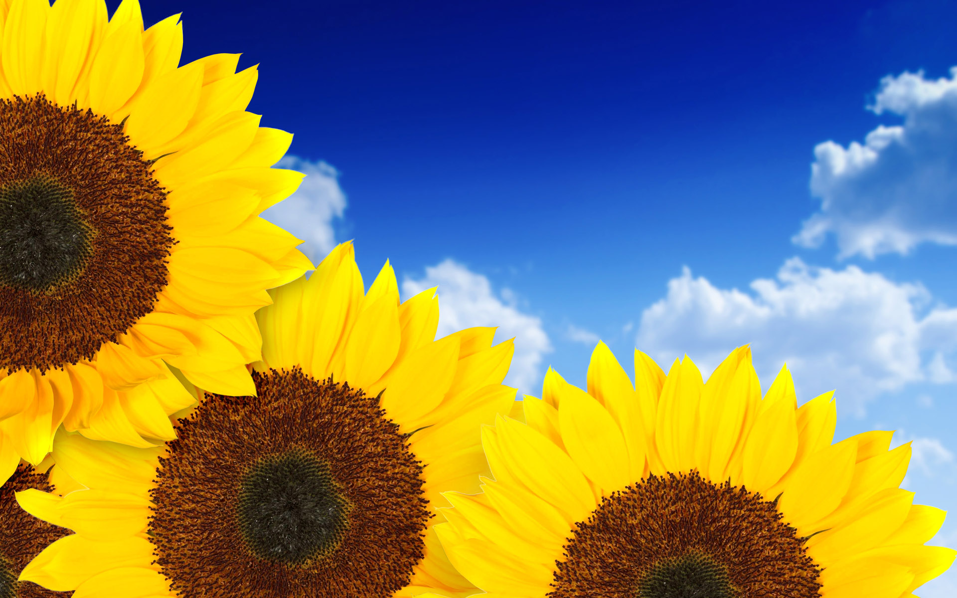 Pure Yellow Sunflowers 4178510 1920x1200 All For Desktop