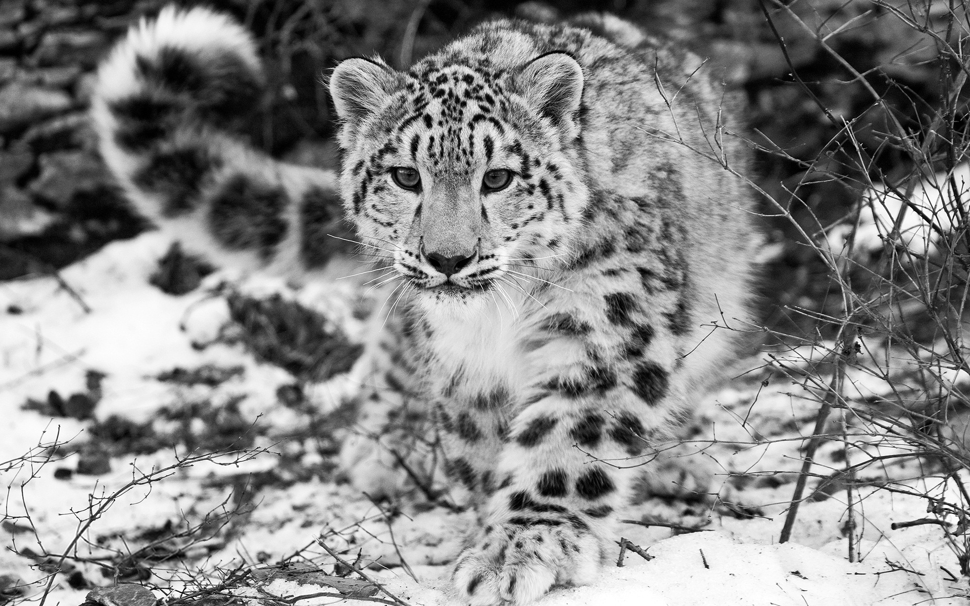The Snow Leopard 691.84 Kb