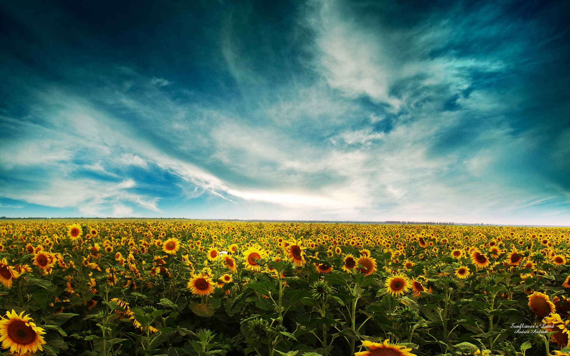 Sunflowers Landscape 852.02 Kb
