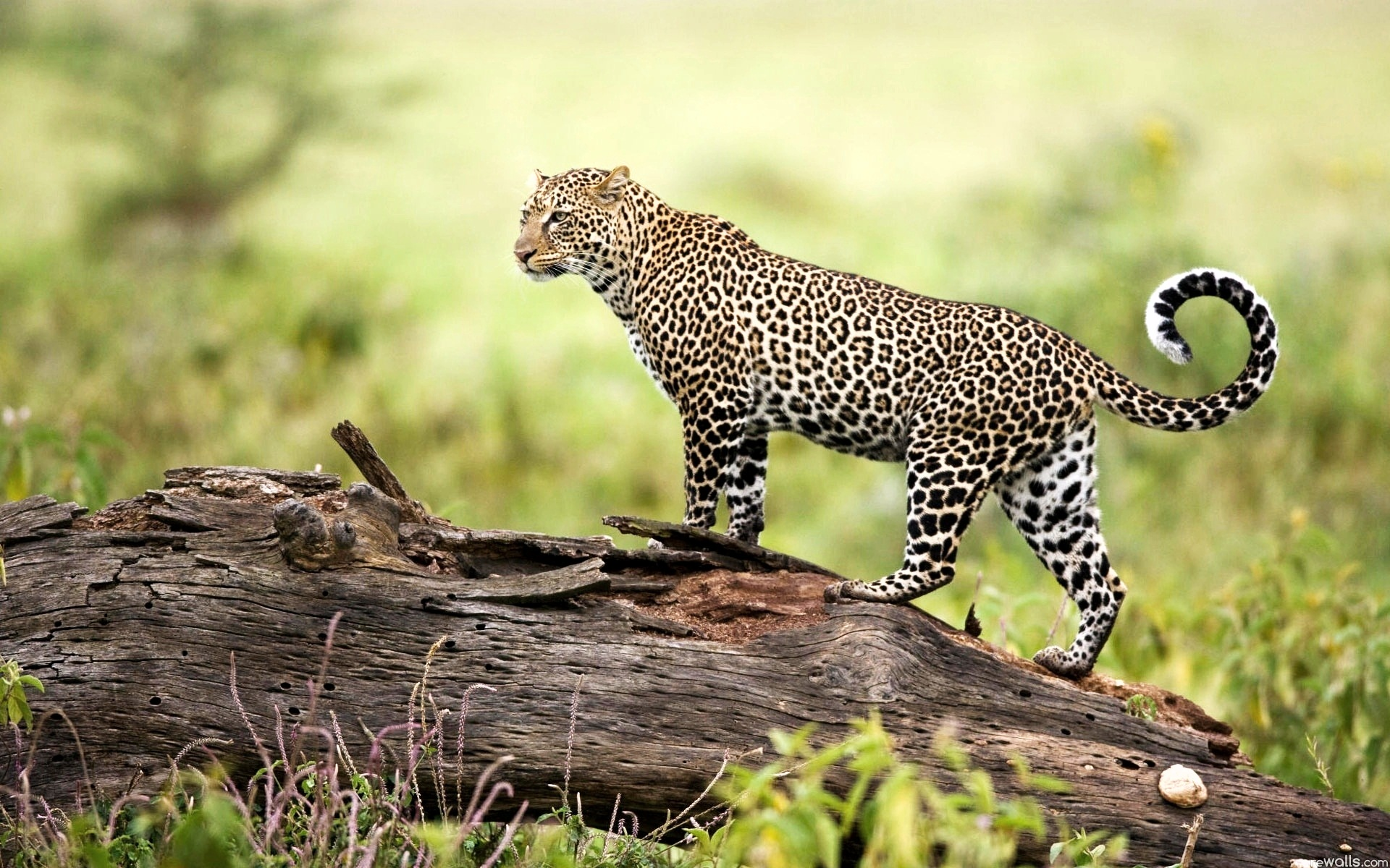Leopard Wildlife 741.43 Kb