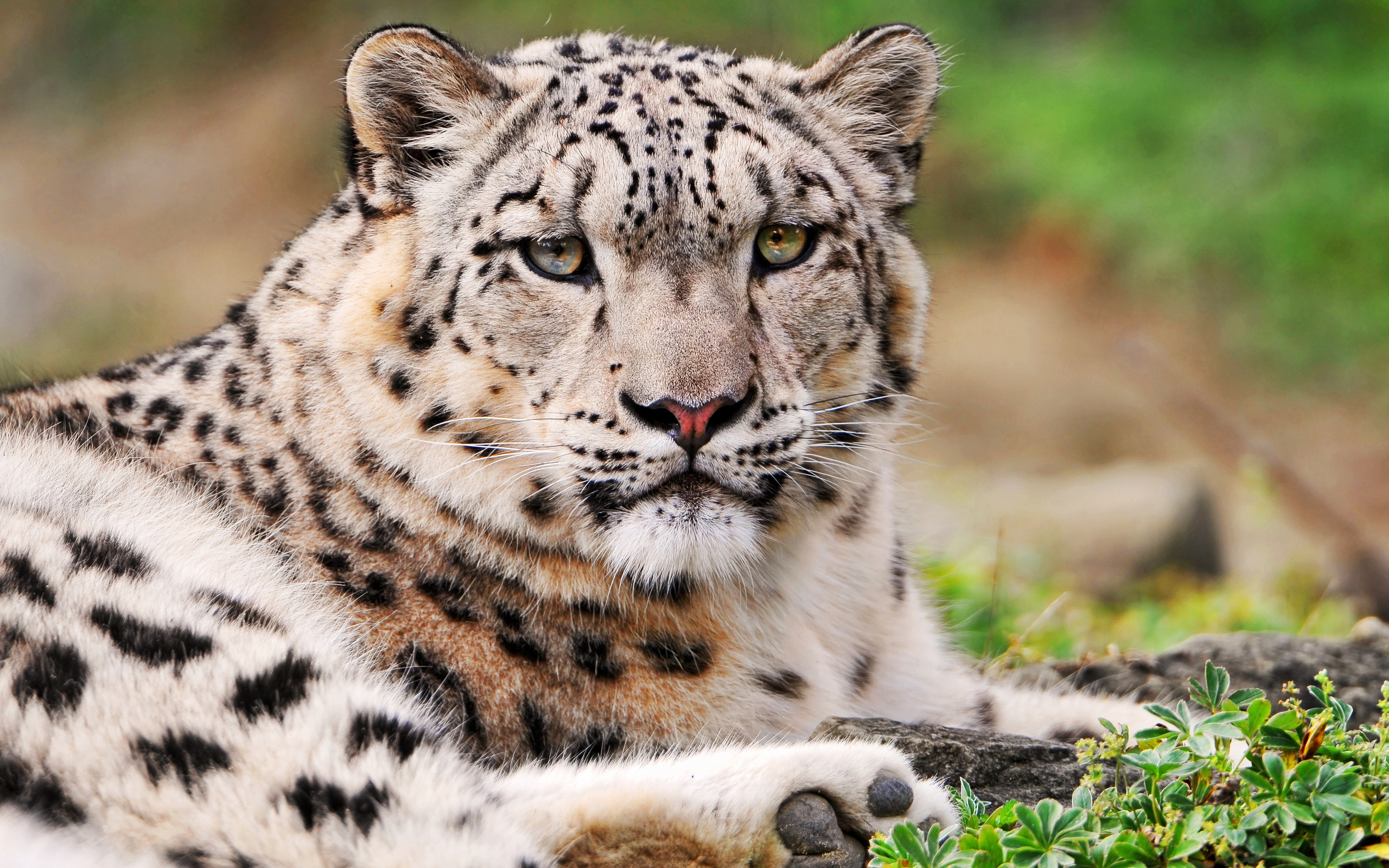 White Snow Leopard 691.84 Kb