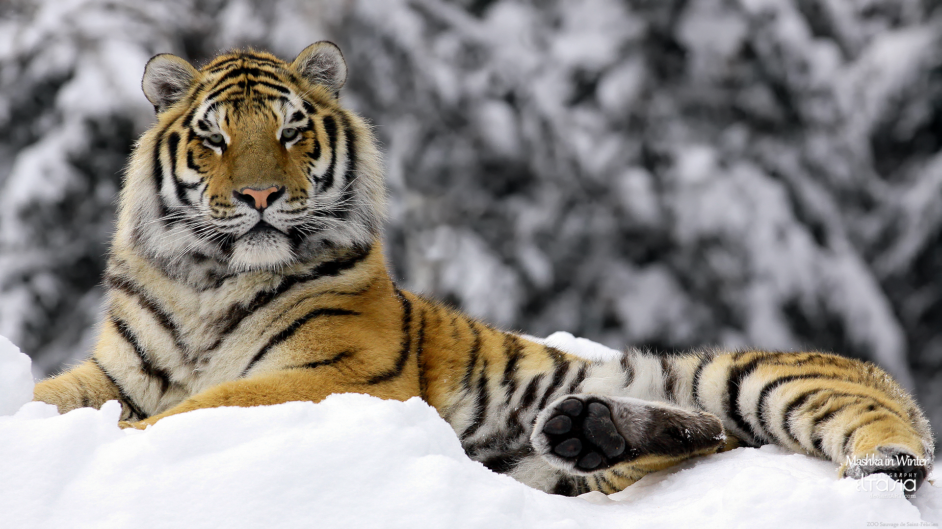 Tiger in Winter 387.92 Kb
