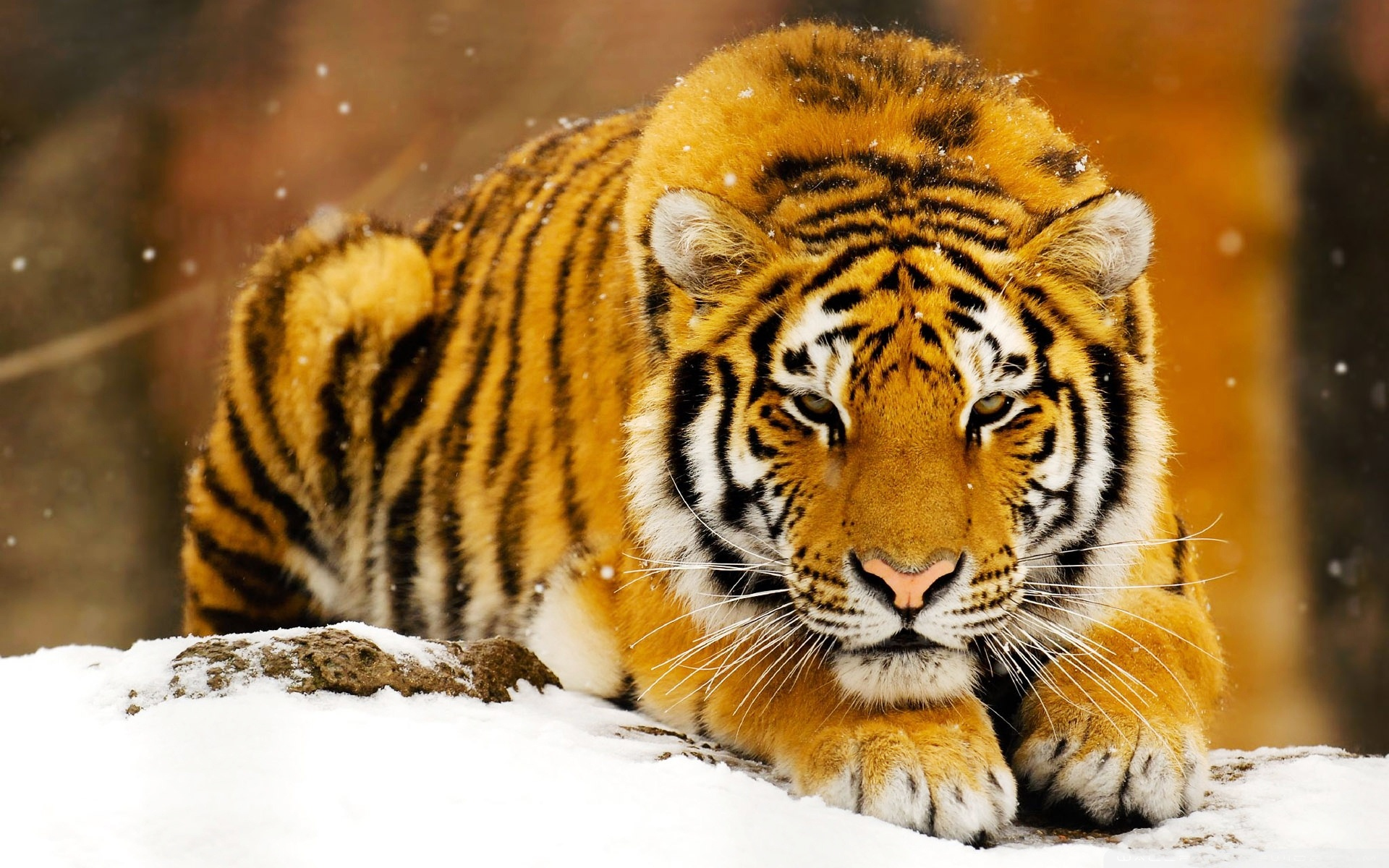 Siberian Snow Tiger 666.94 Kb