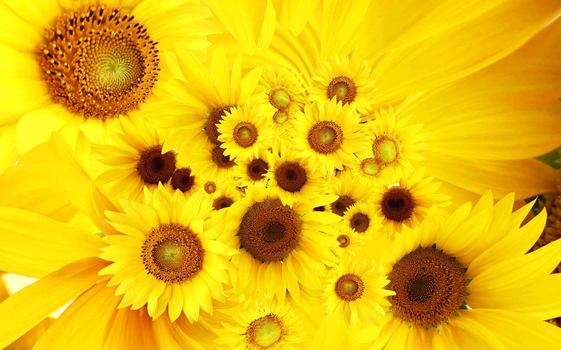 Cool Sunflowers 344.19 Kb