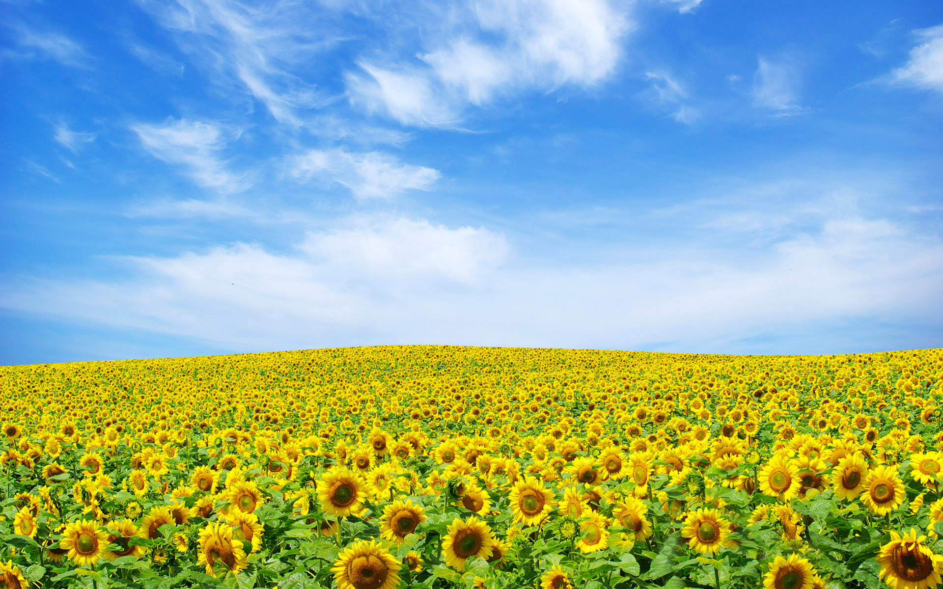 Sunflower Landscape 852.02 Kb