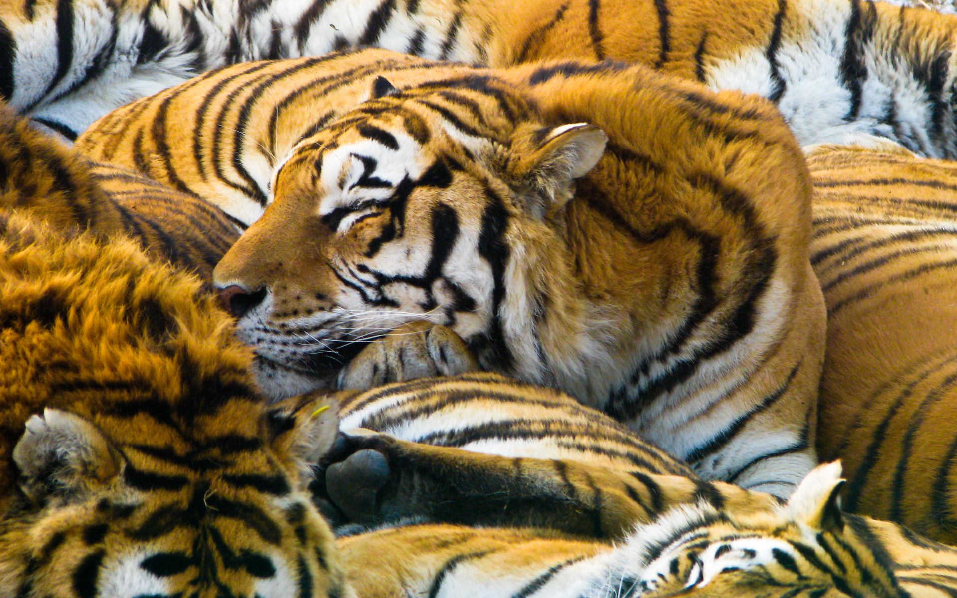 Sleeping Tigers 1476.13 Kb