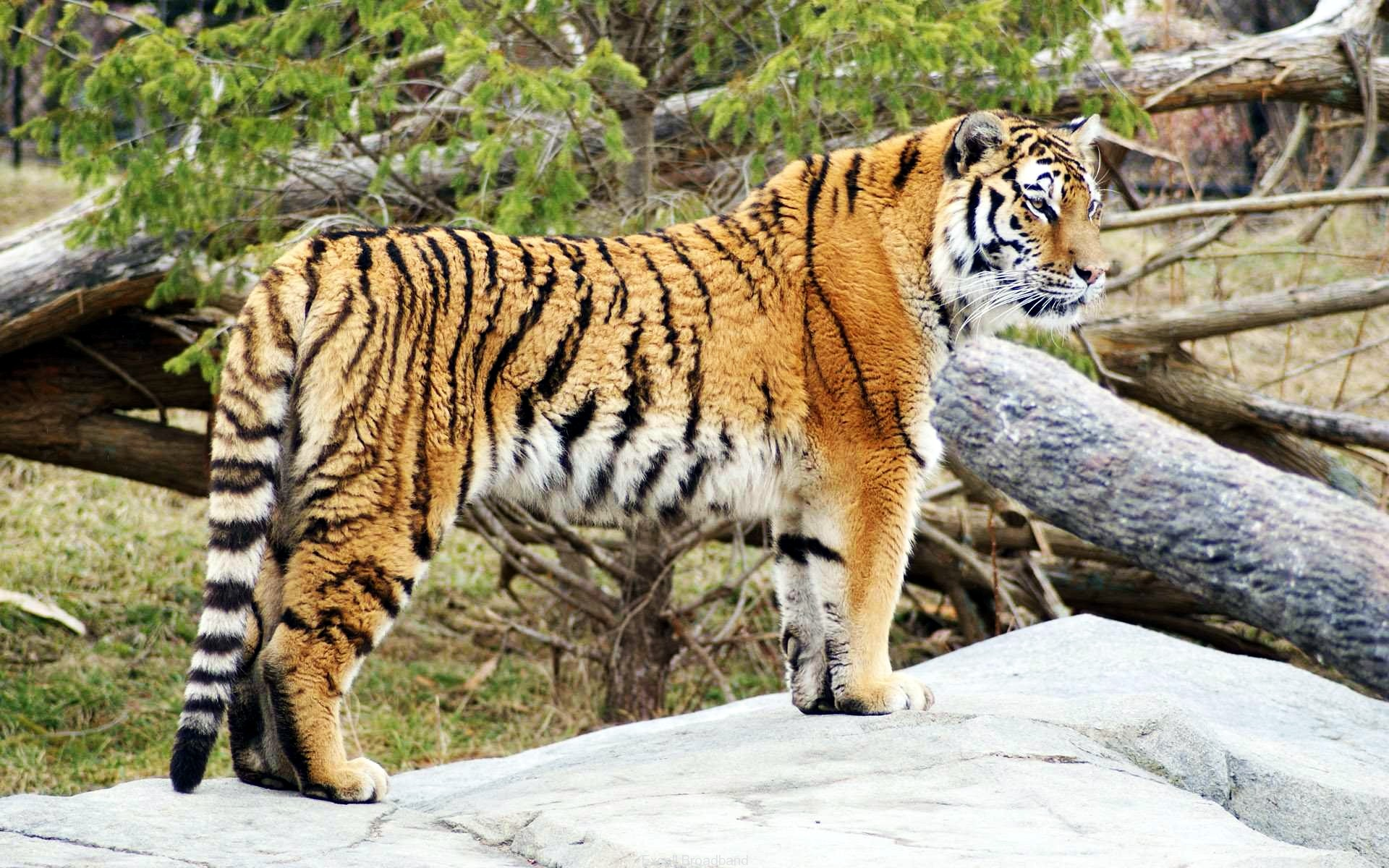 Tiger Widescreen HD 530.04 Kb