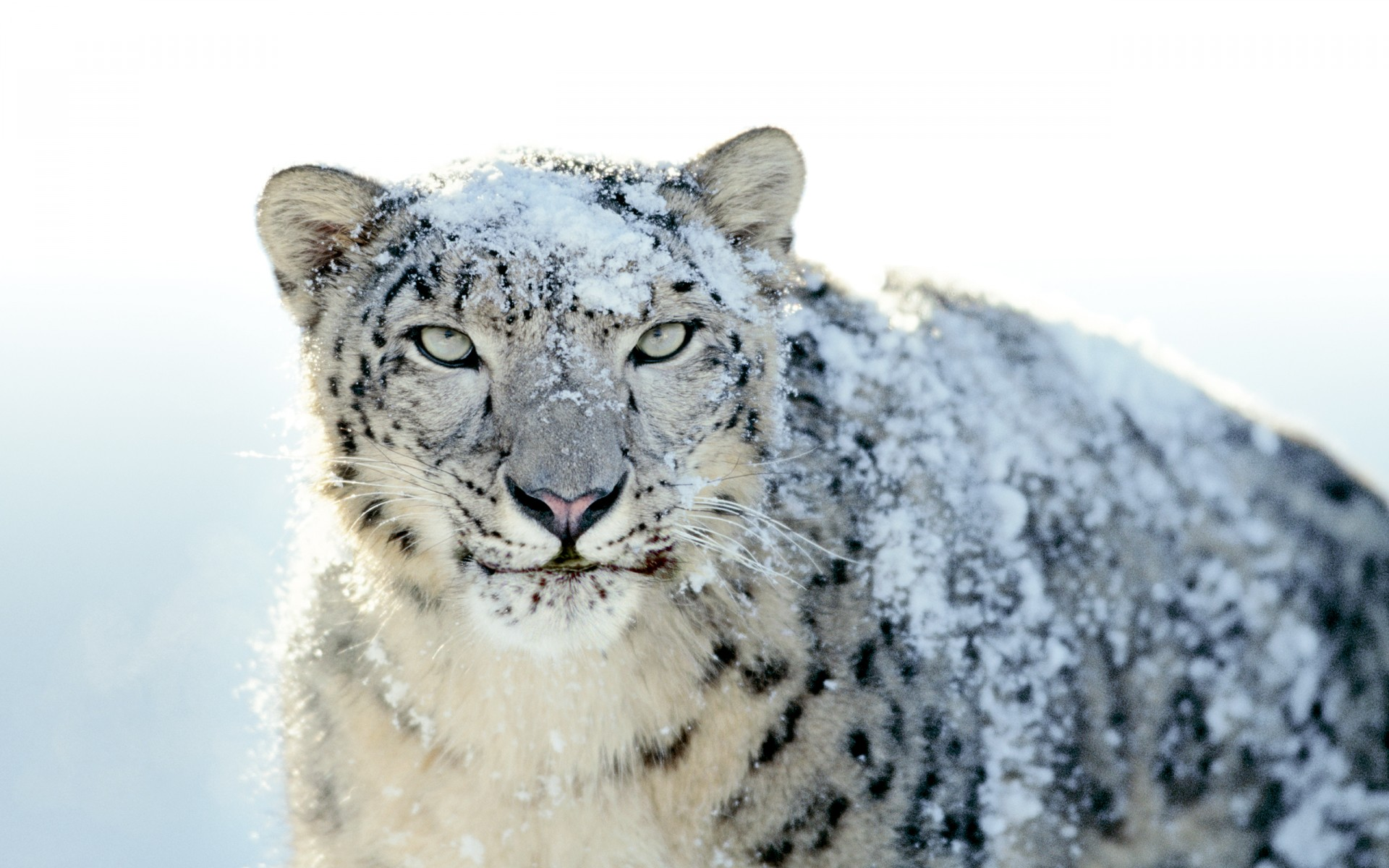 Snow White Leopard Wide