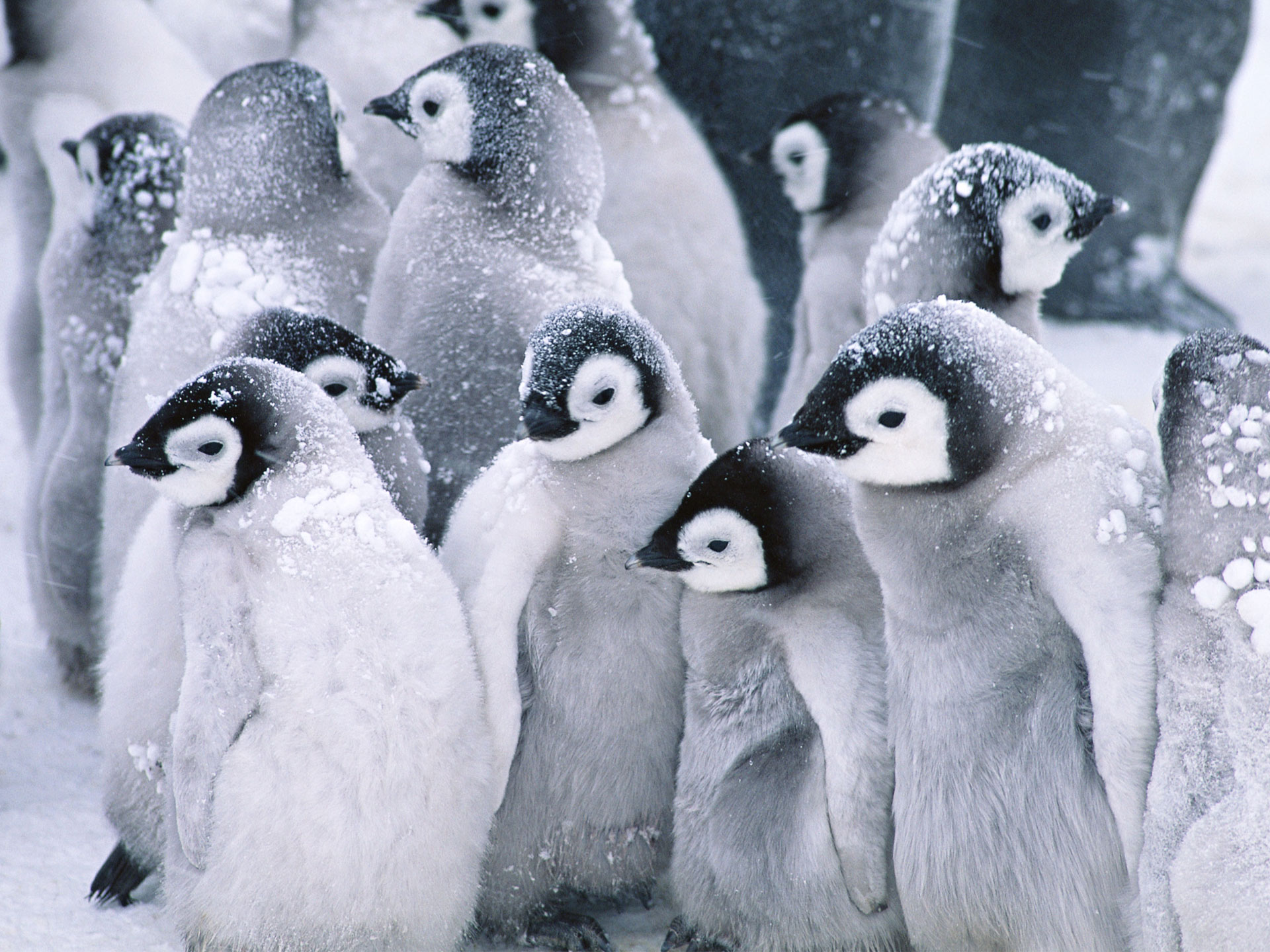 Cute Arctic Penguins 522.06 Kb