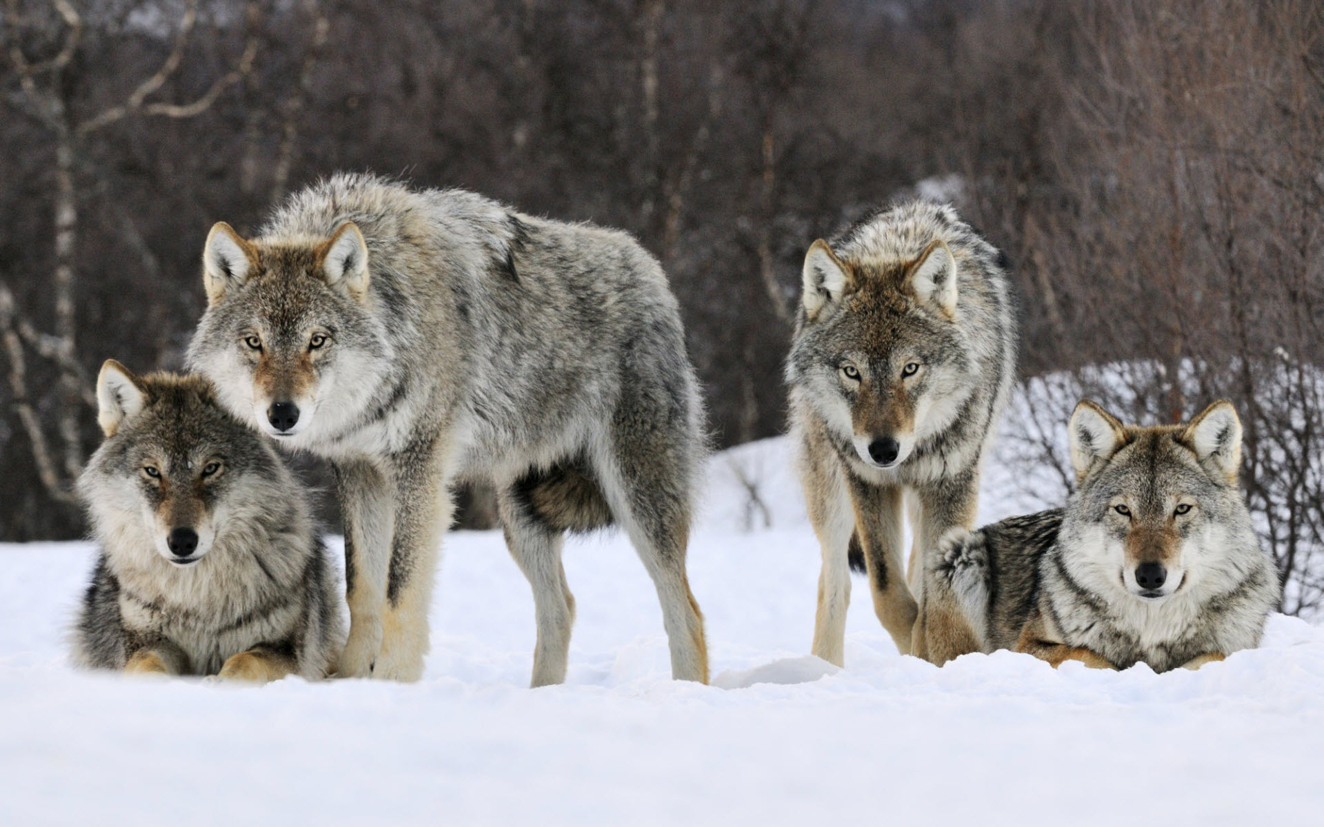 Gray Wolves Norway 214.98 Kb