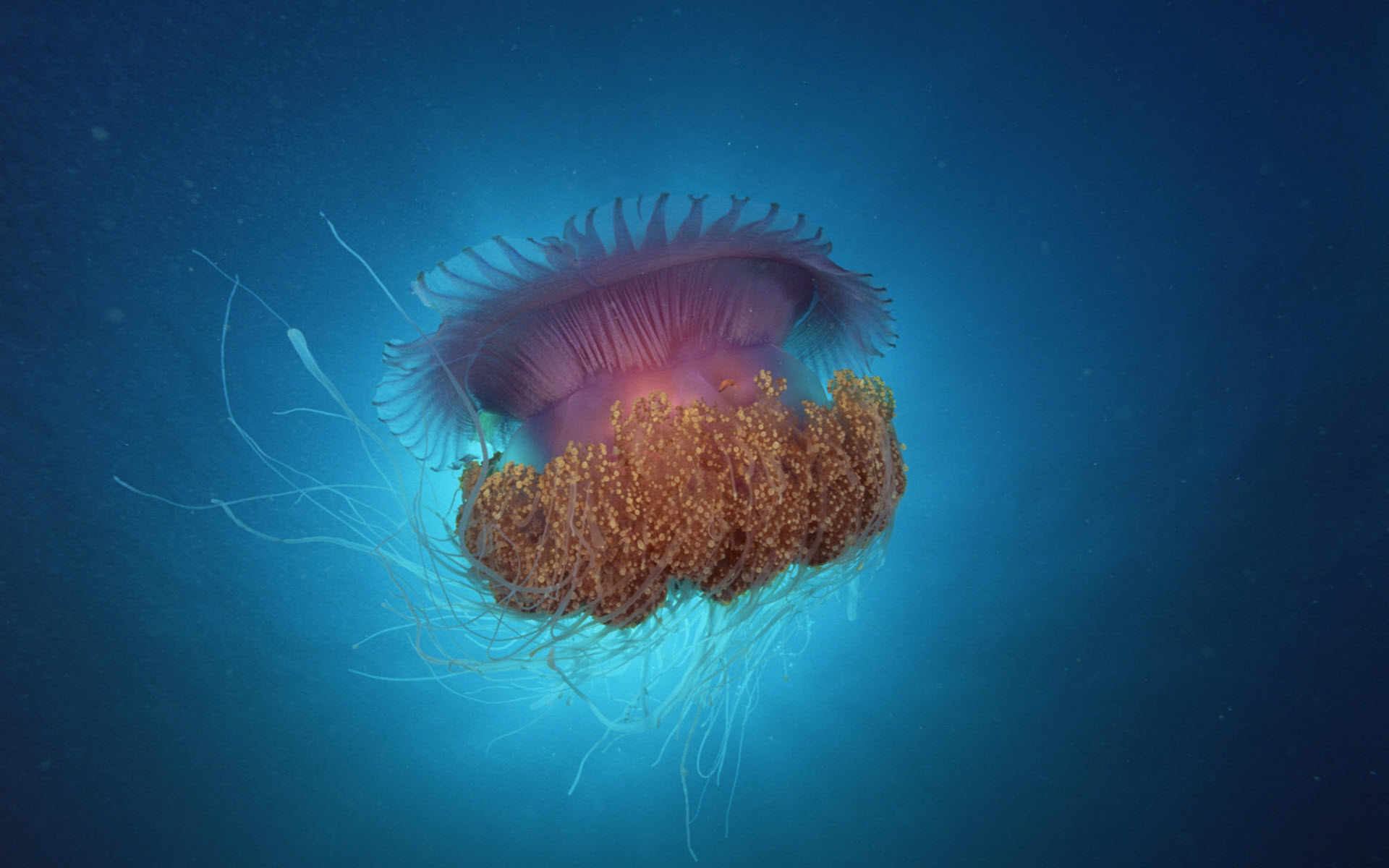 Jellyfish Under Sea