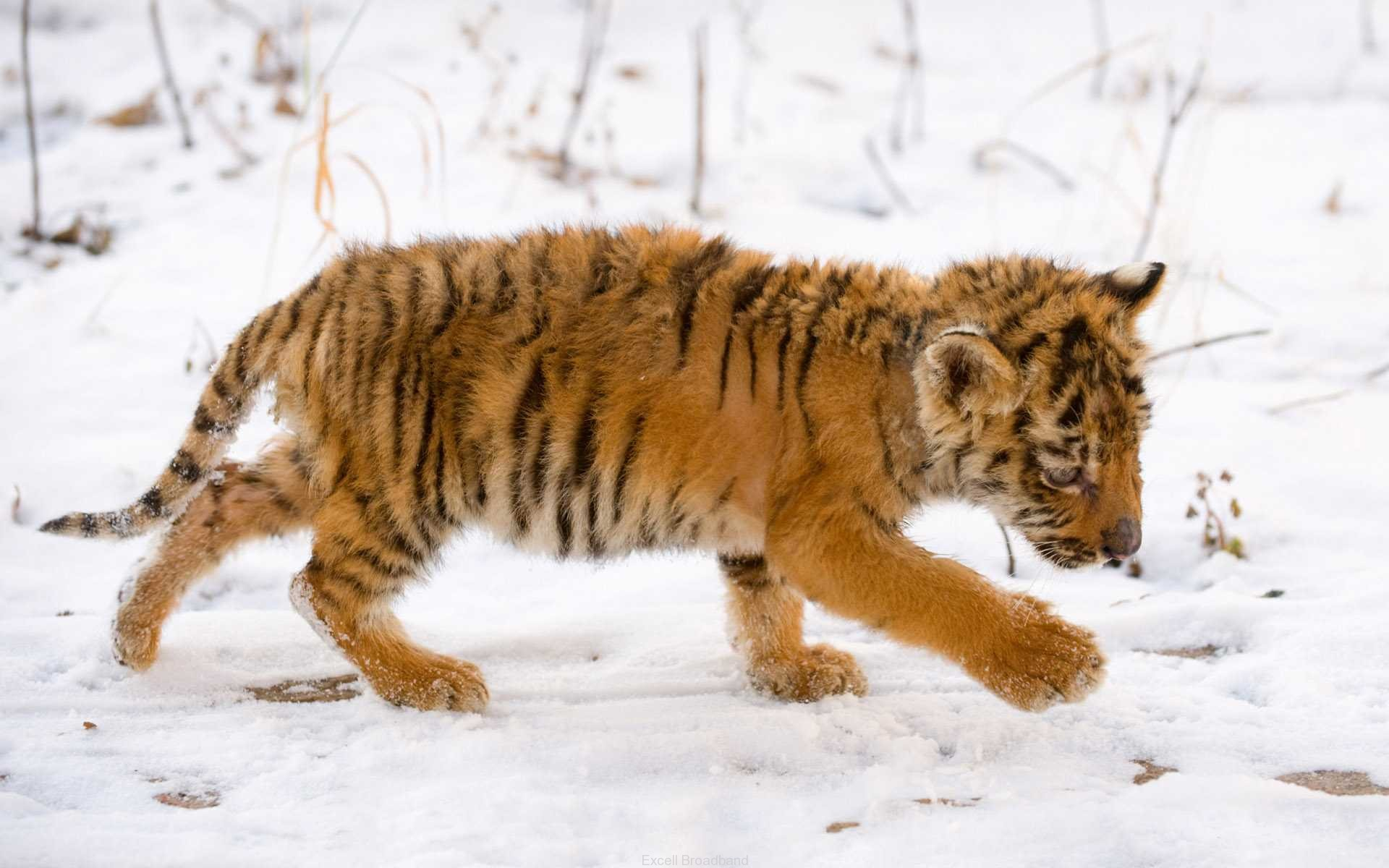 Snow Tiger Cub 381.26 Kb