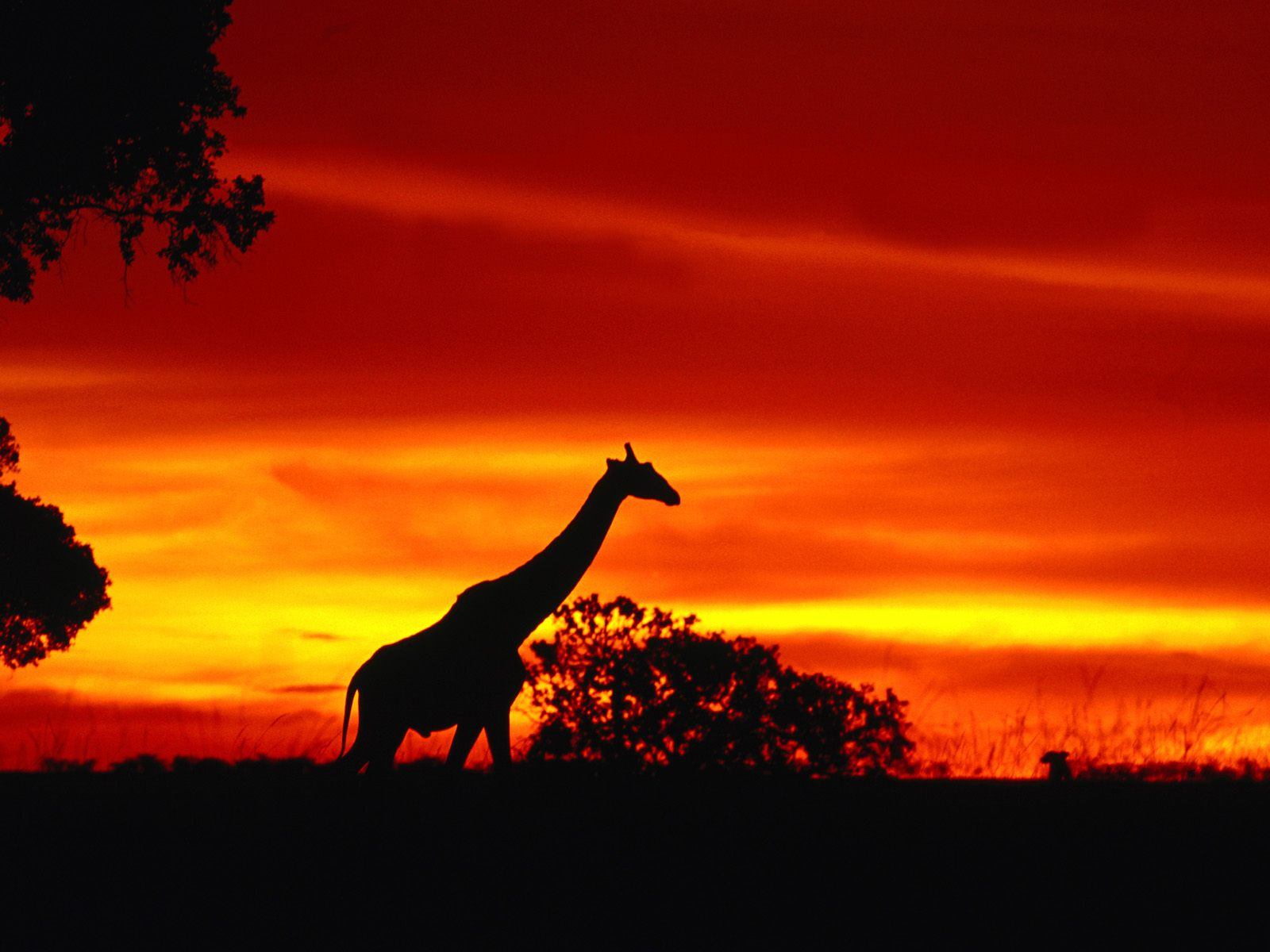 A Giraffe Journey at Dusk 4822.48 Kb