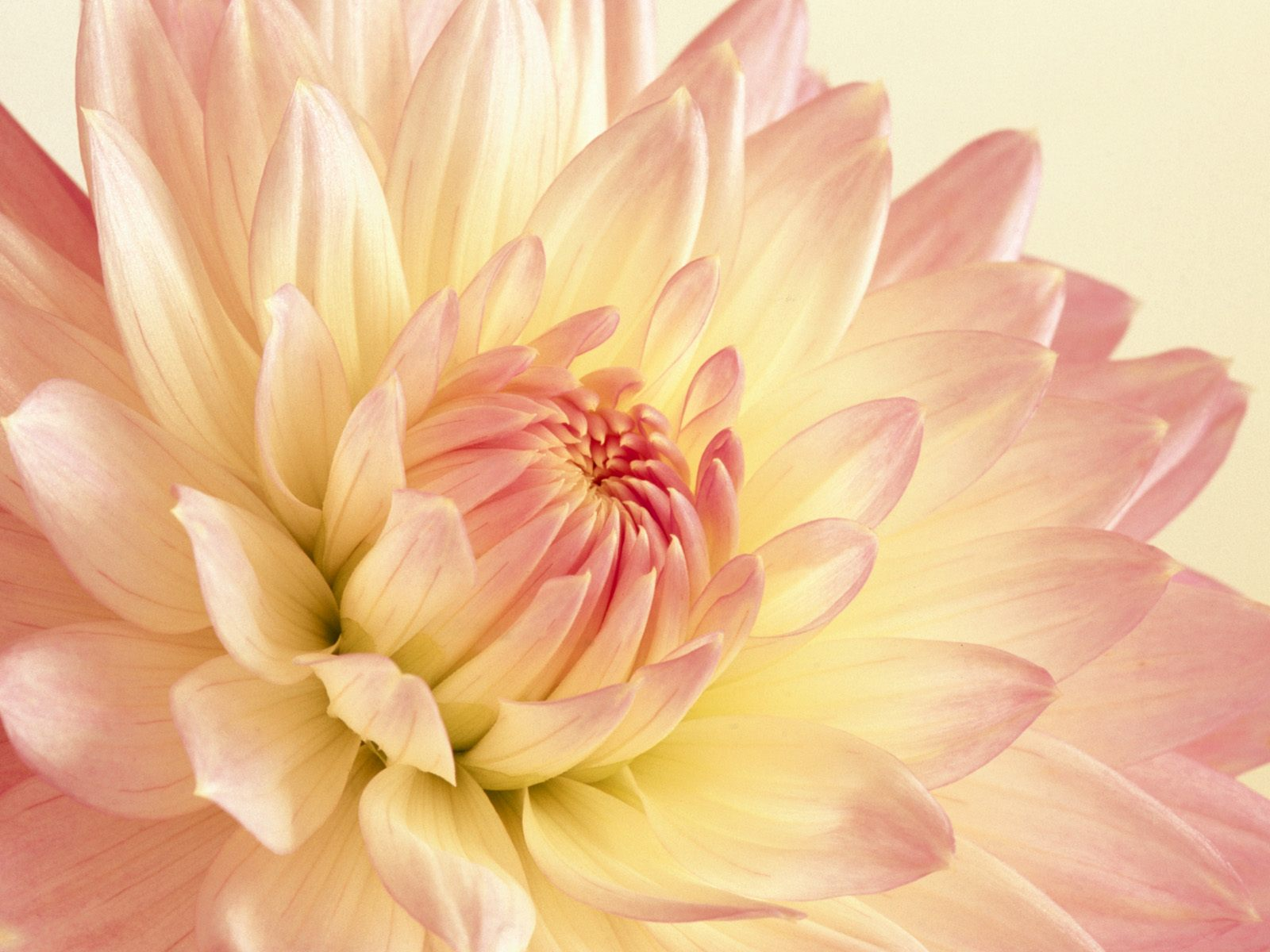 Pale Pink and Yellow Dahlia