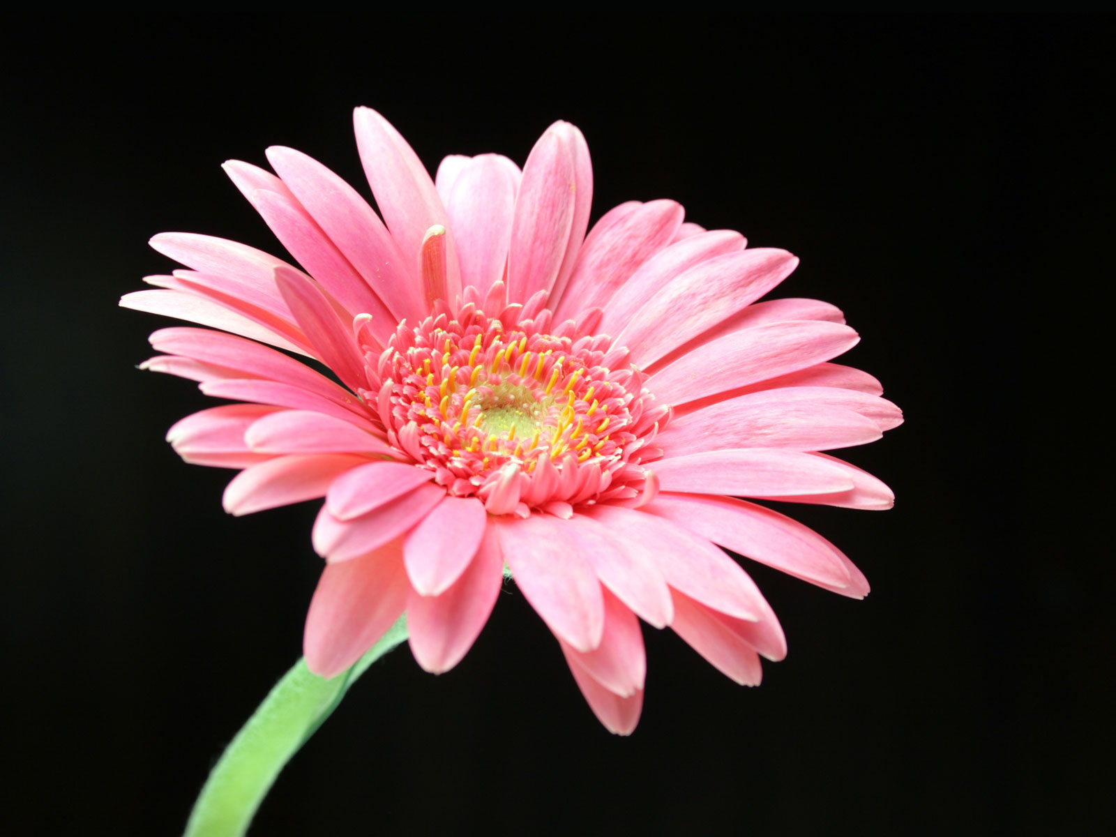 1000 images about Daisy Flower on Pinterest