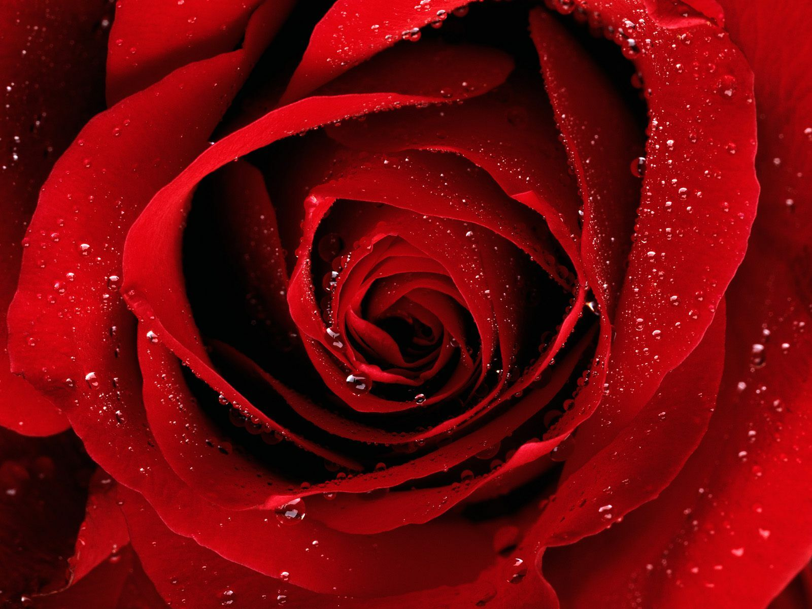 A Red Rose For You 237.04 Kb