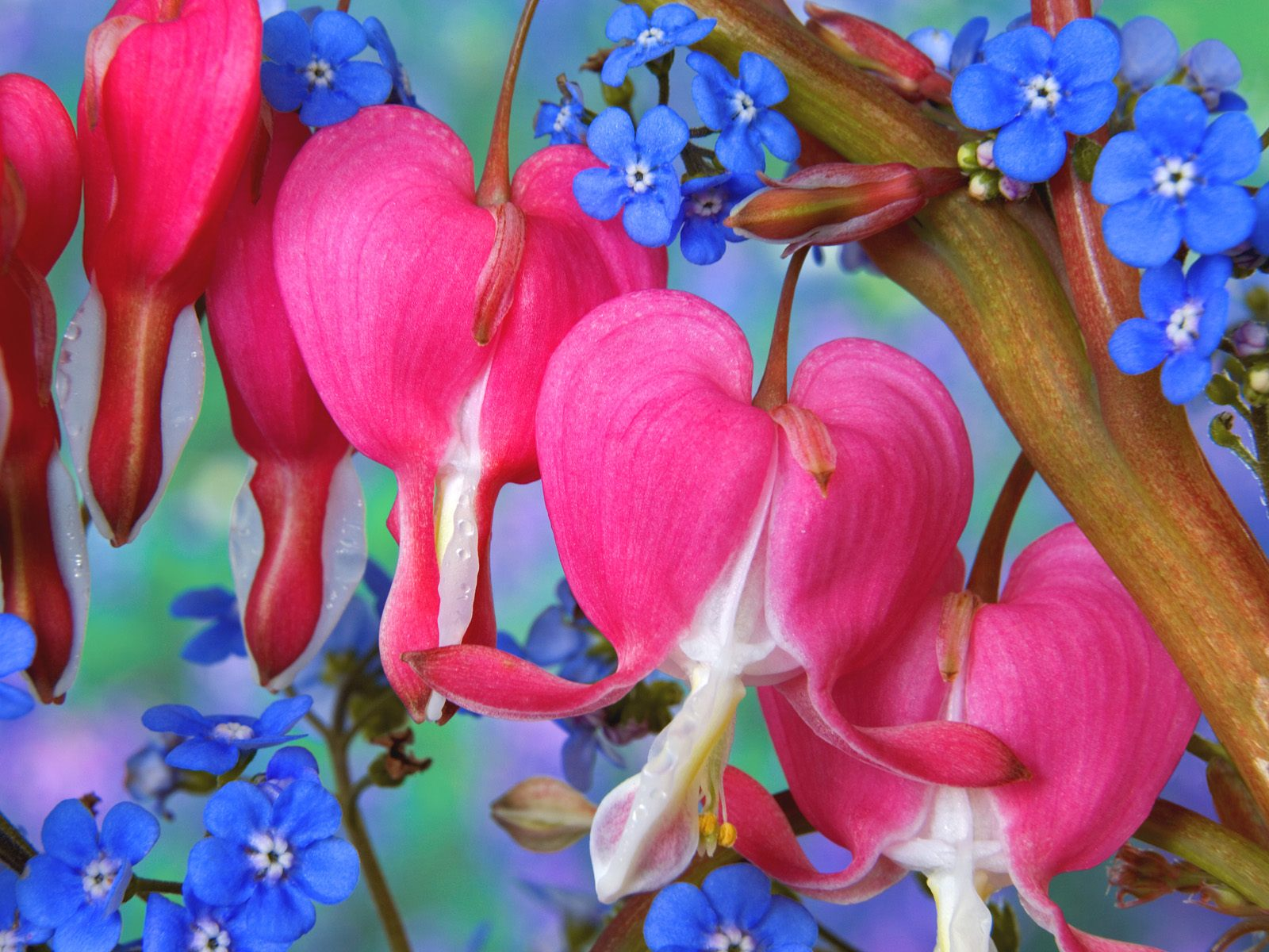 Bleeding Heart Flowers 365.34 Kb