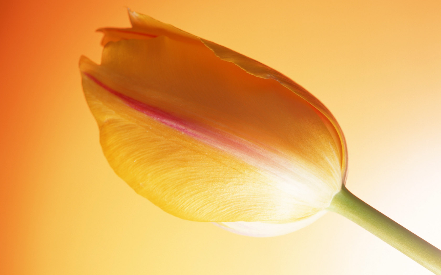Hot Tulip 399.38 Kb