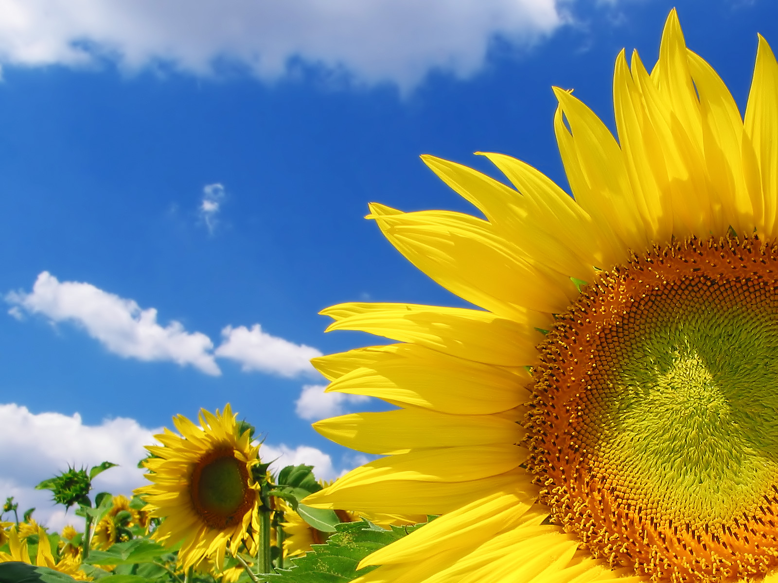 High Quality Sunflower