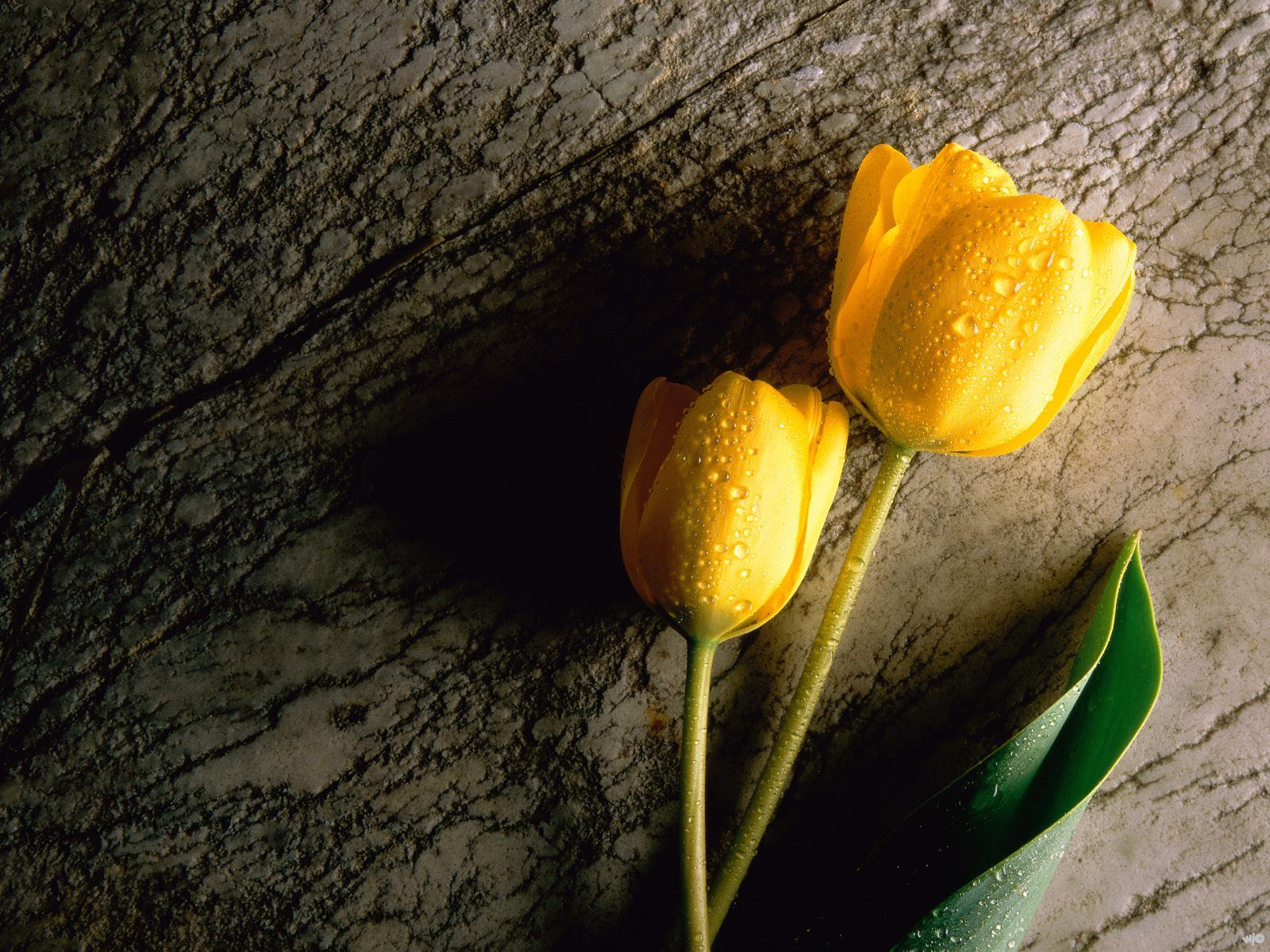 Two Wet Yellow Tulips