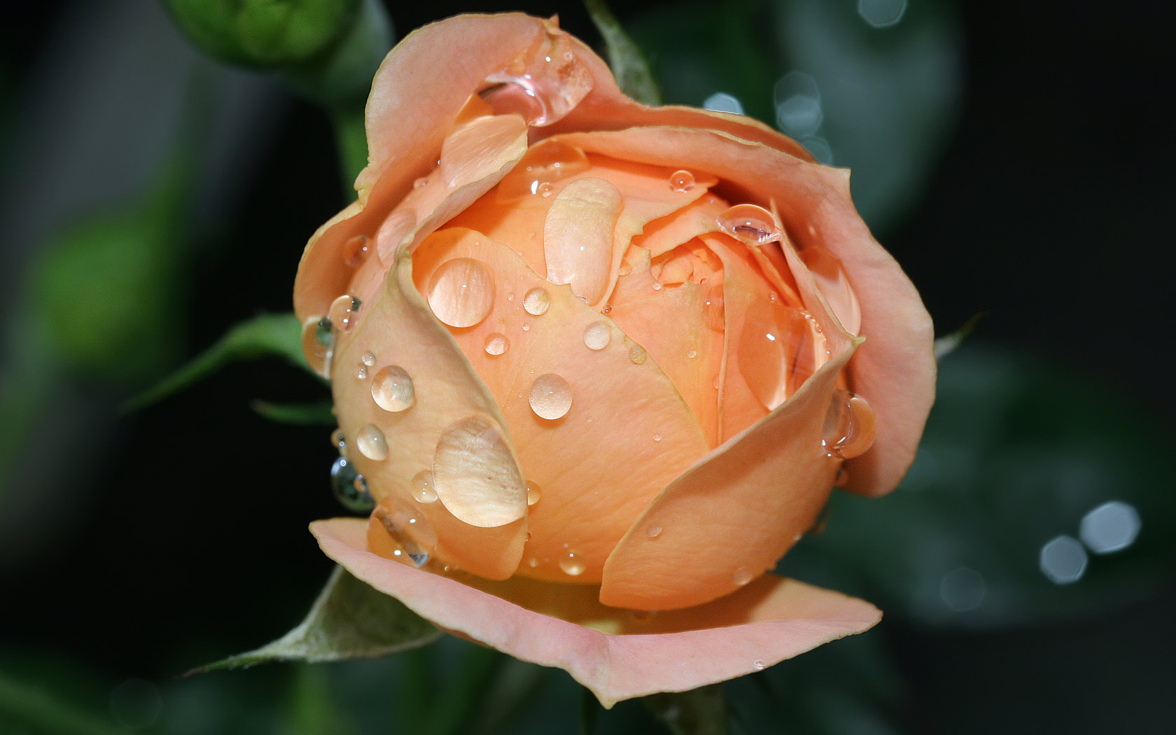 Wet Rose Bloom