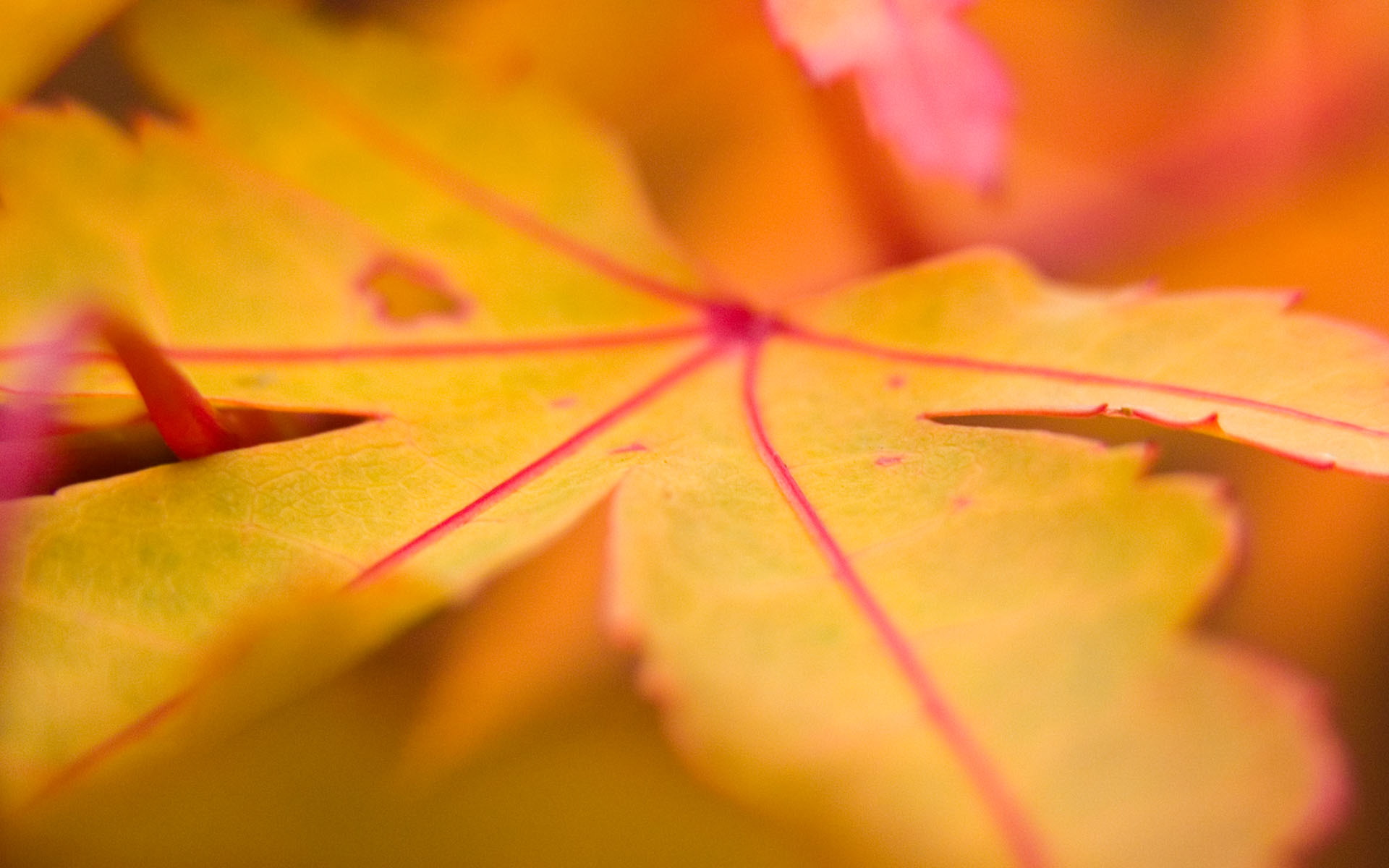 Yellow Leaf 225.34 Kb
