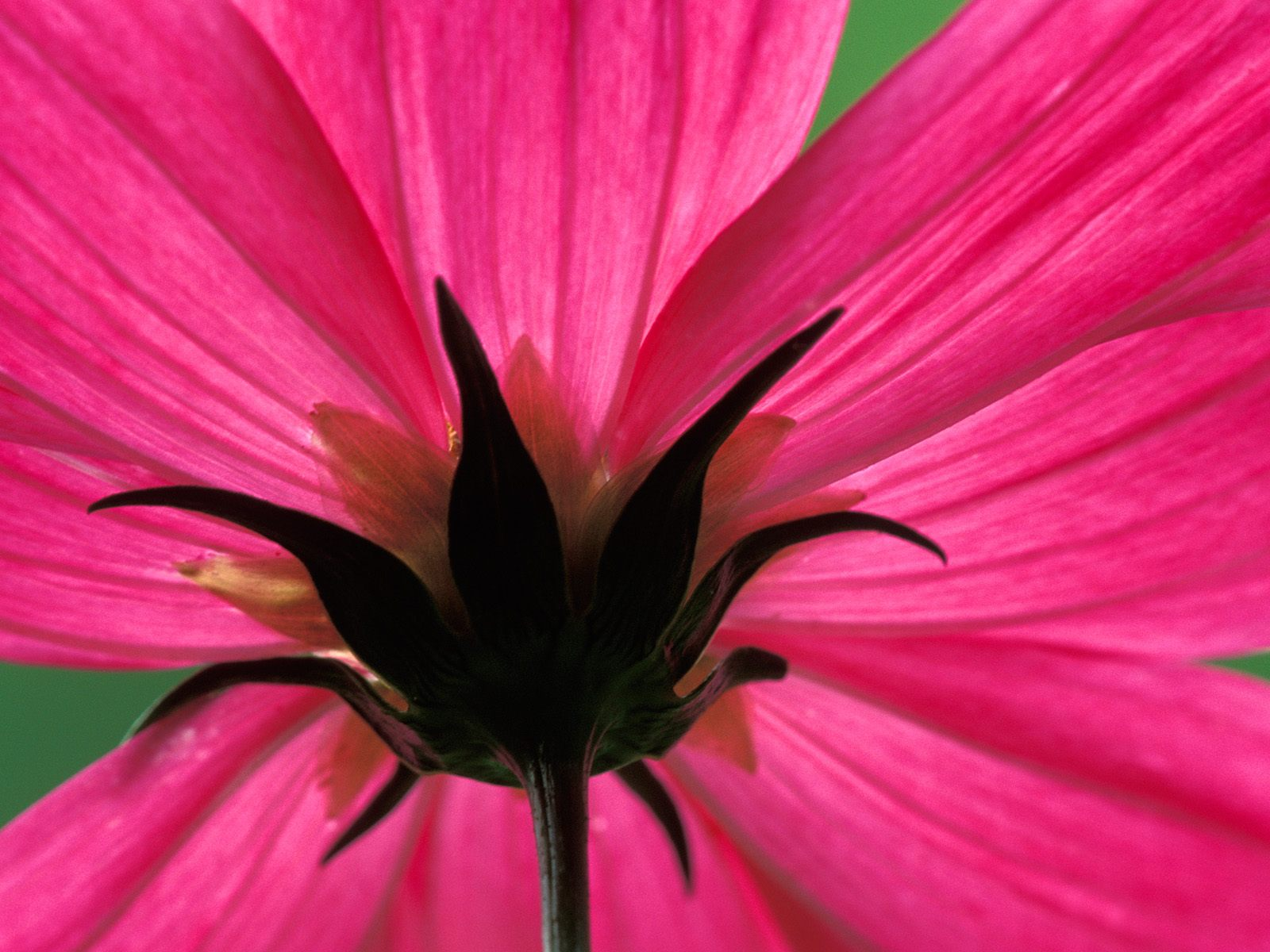 Cosmos Flower 1108.7 Kb