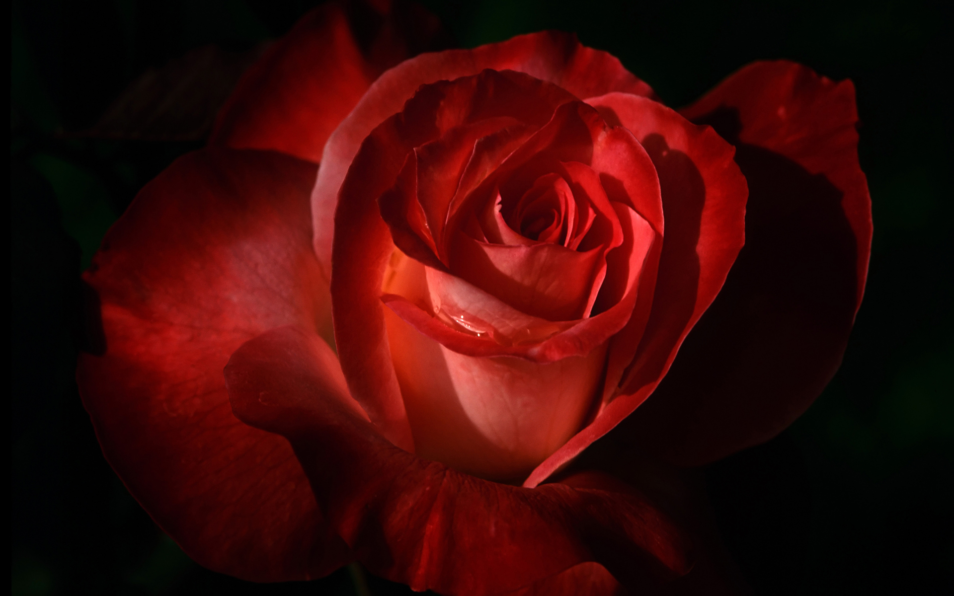 Red Rose 2 237.04 Kb