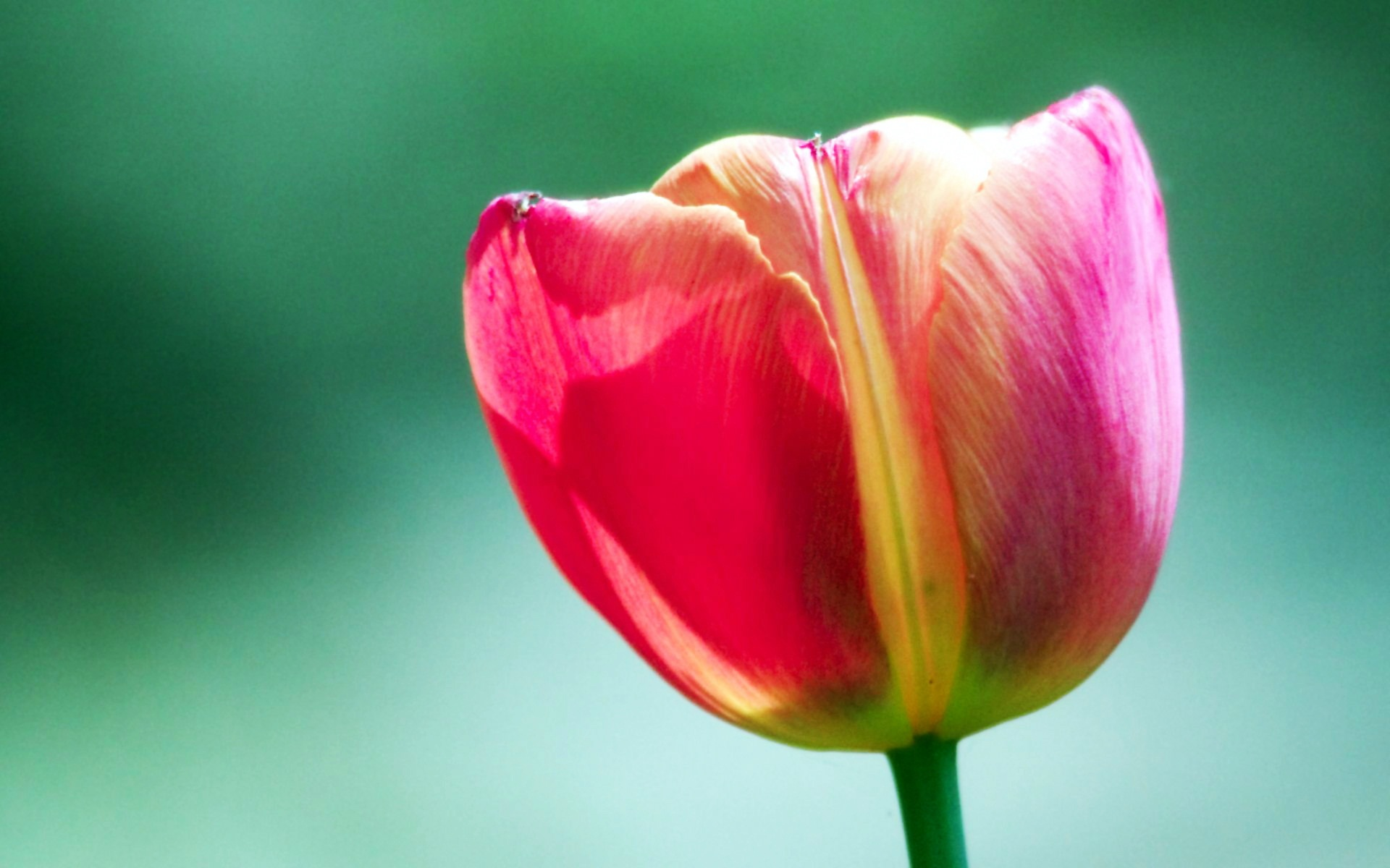 Pink Tulip Flower 4207682 1920x1200 All For Desktop