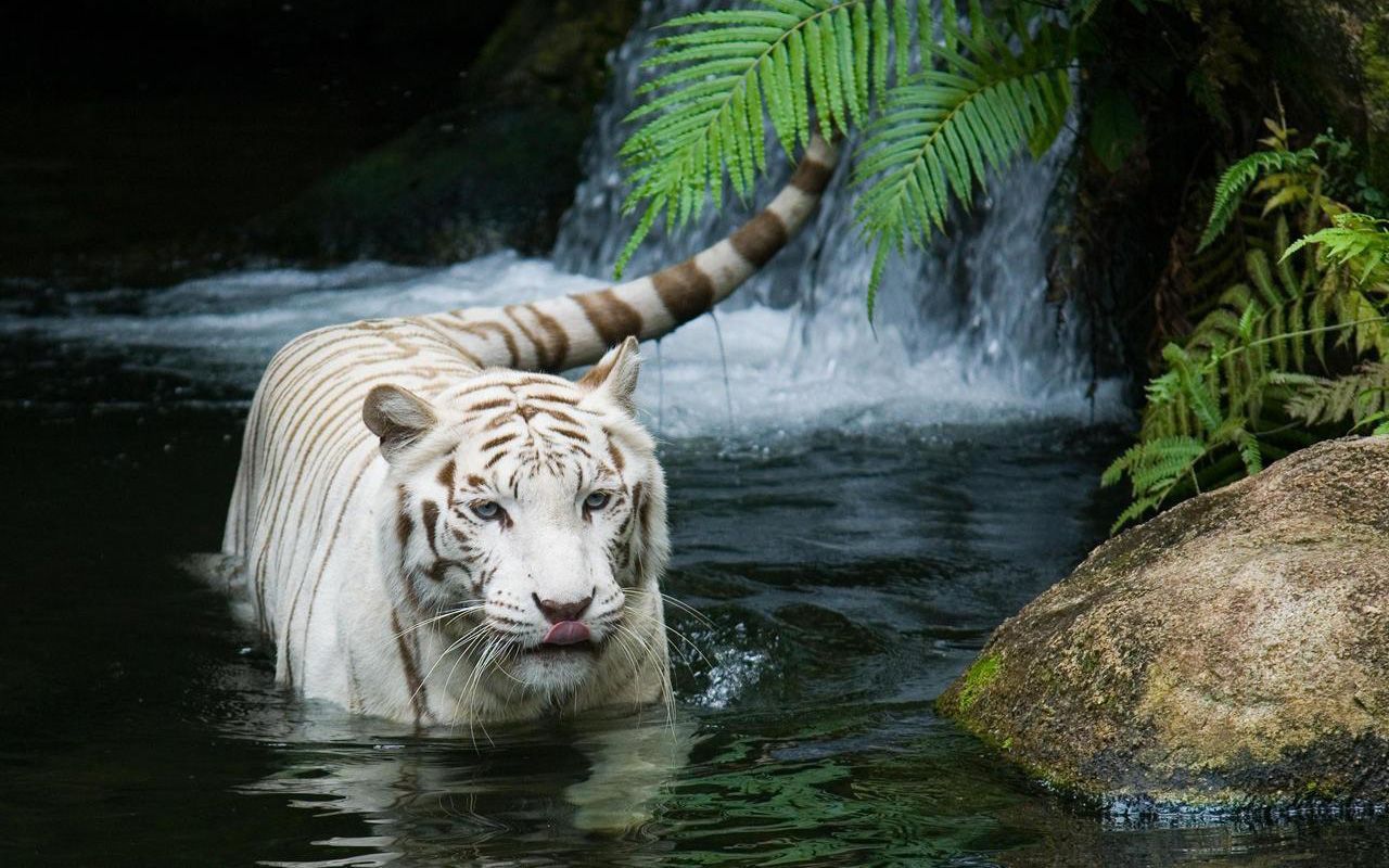 White Tiger Beautiful 1219.27 Kb