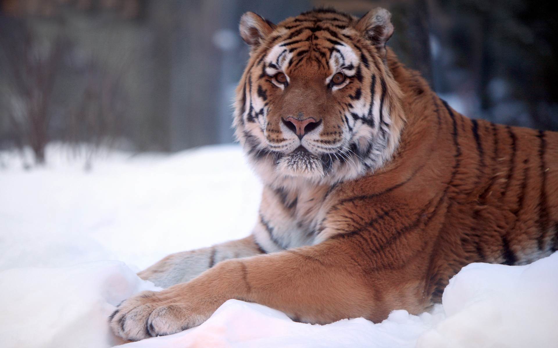 Tiger Snow Wide