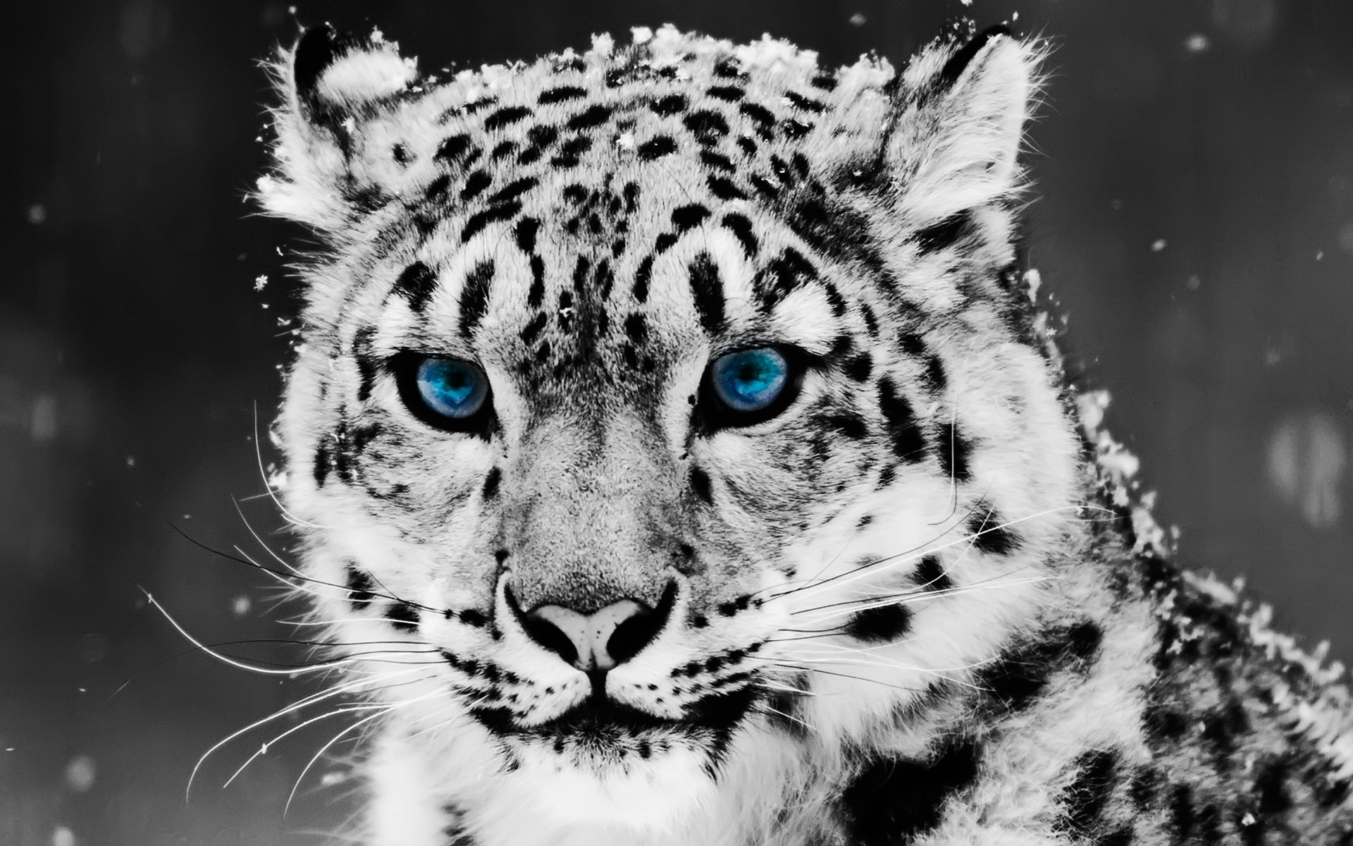 Snow Blue Eye Leopard 970.48 Kb
